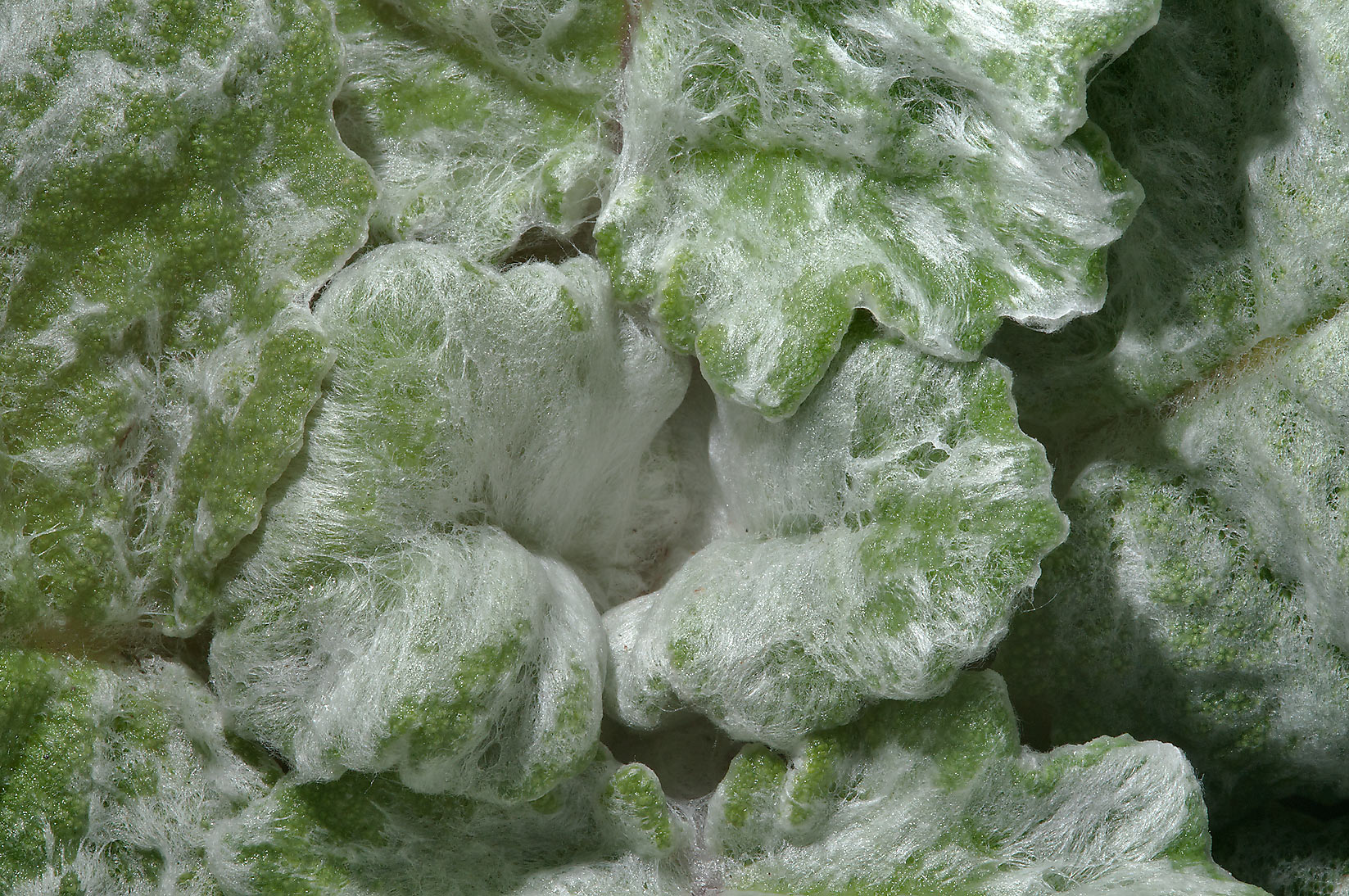 Woolly leaves of silver sage (Salvia argentea) in...Rose Emporium. Independence, Texas