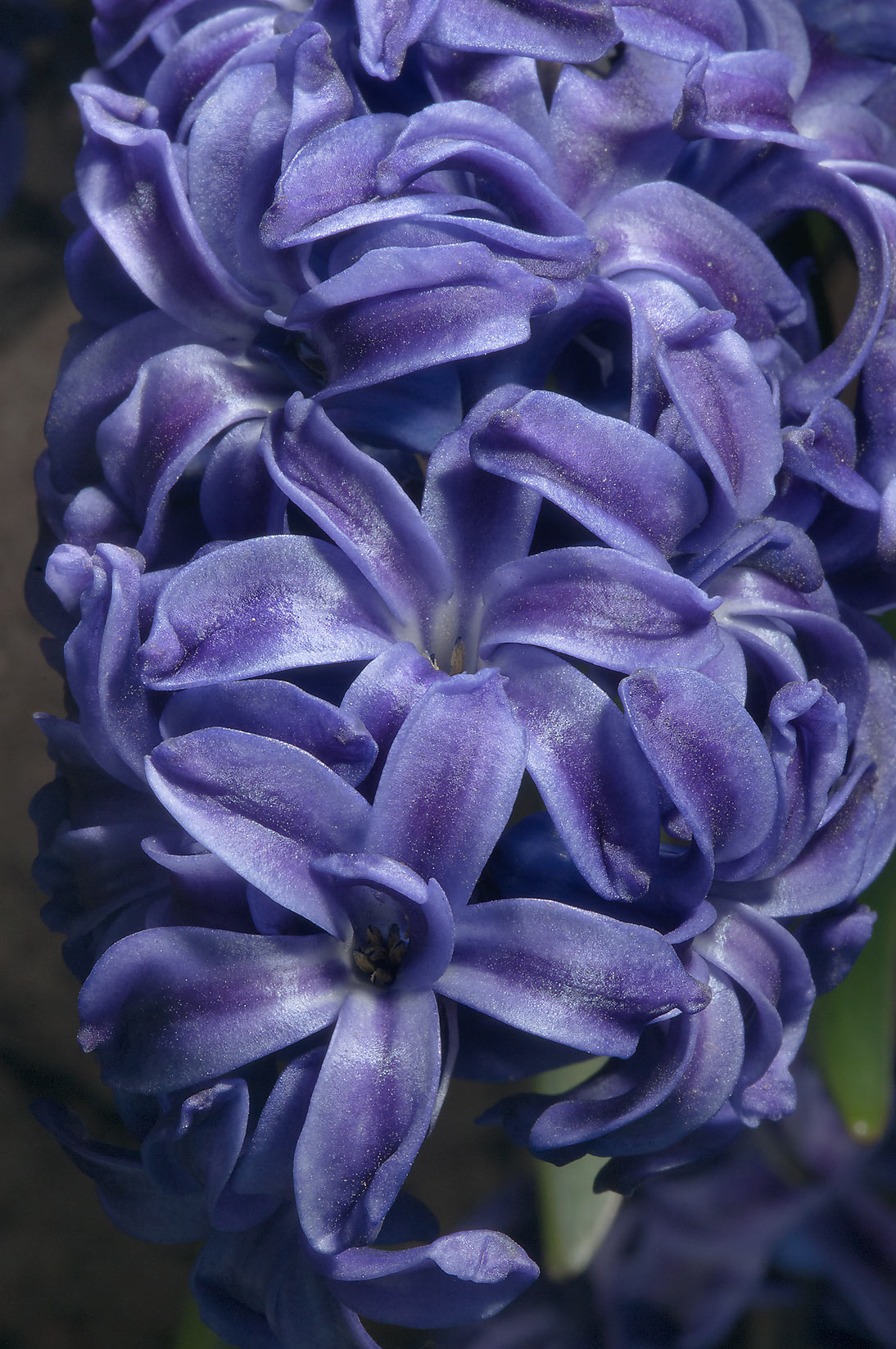 Blue hyacinth in Botanic Gardens of Komarov Botanical Institute. St.Petersburg, Russia