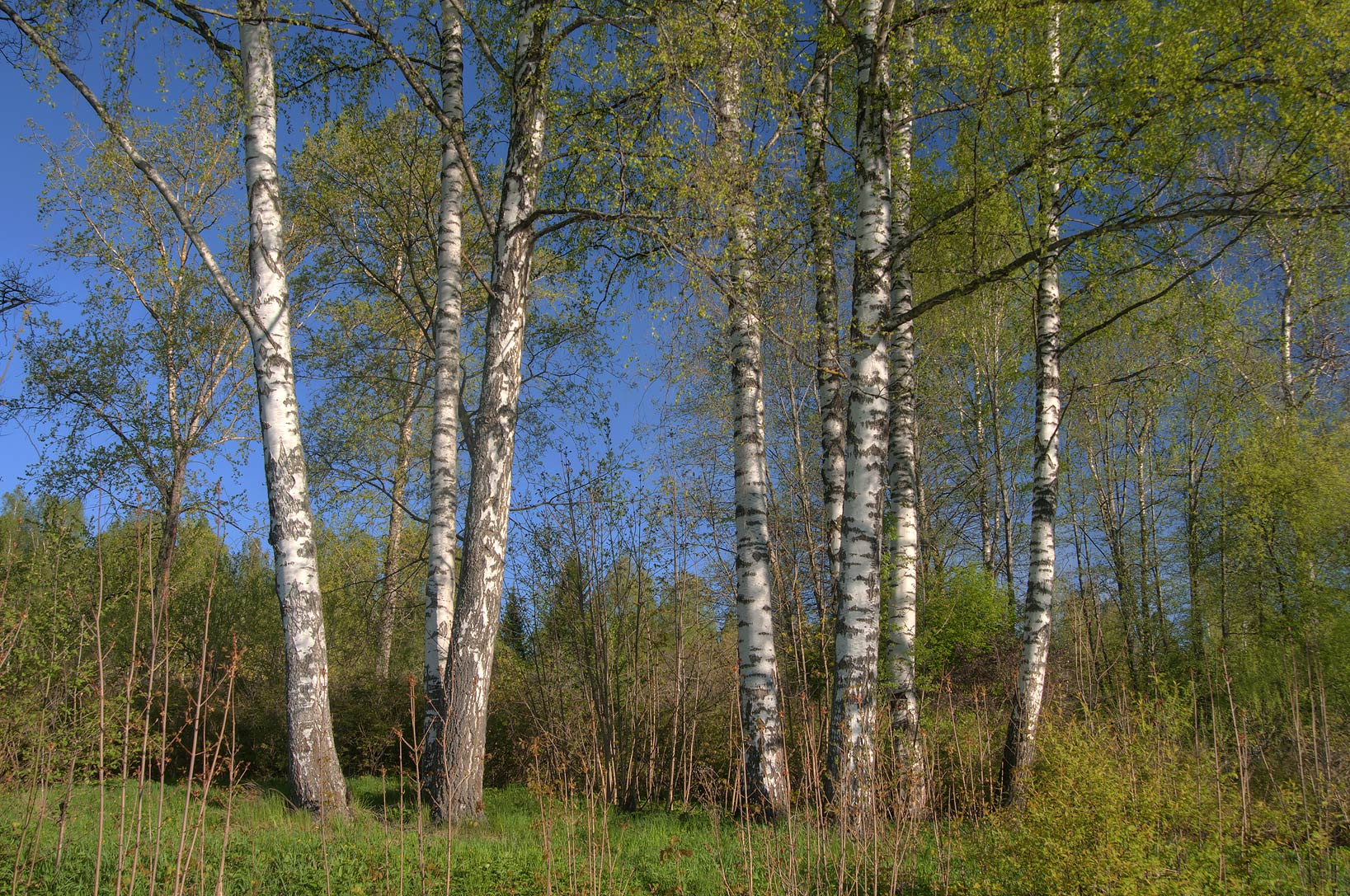 Birches near Slavyanka River in Pavlovsk Park, suburb of St.Petersburg. Russia