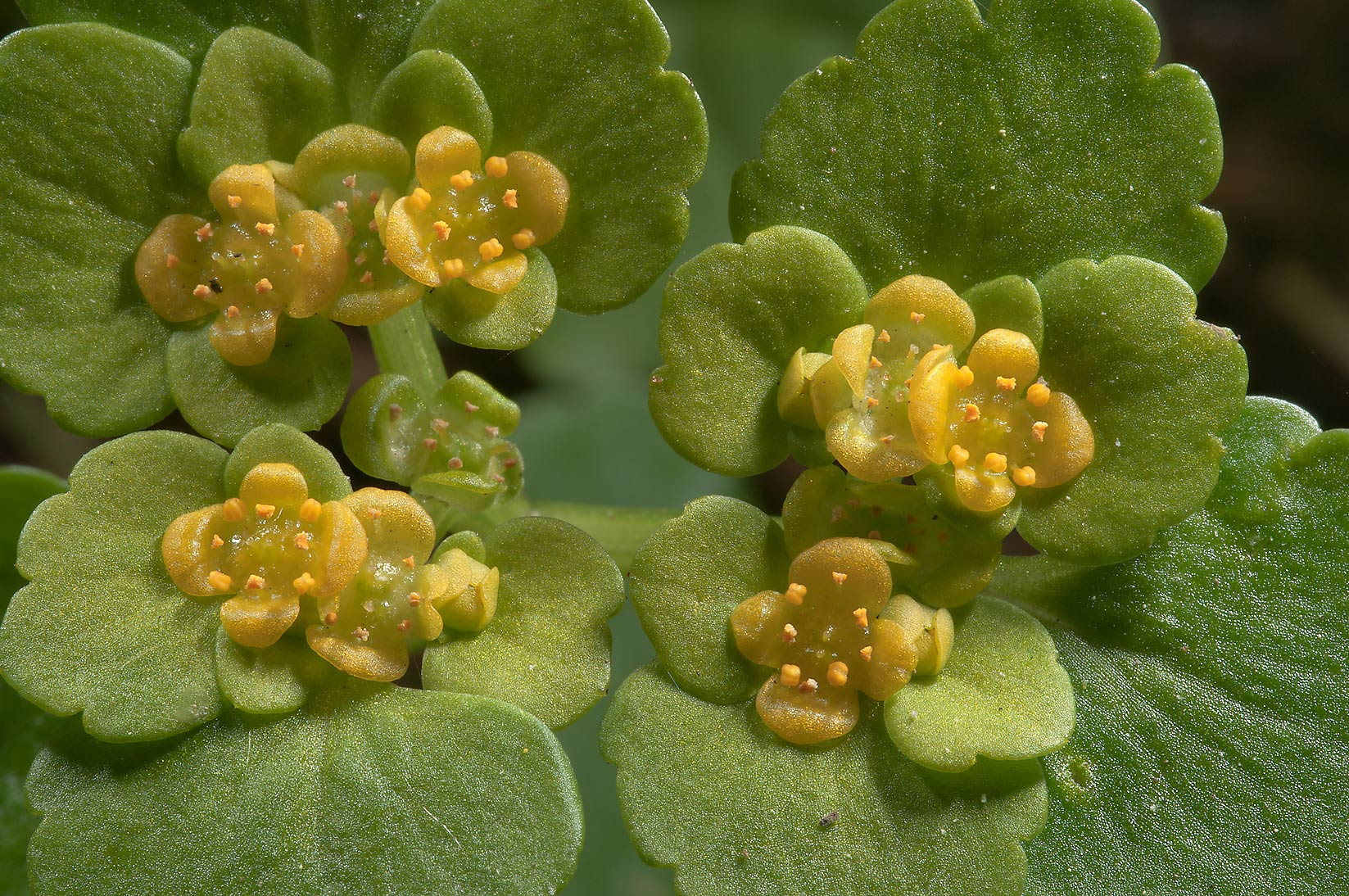 Alternate-leaved Golden Saxifrage (Chrysosplenium...Park, suburb of St.Petersburg. Russia