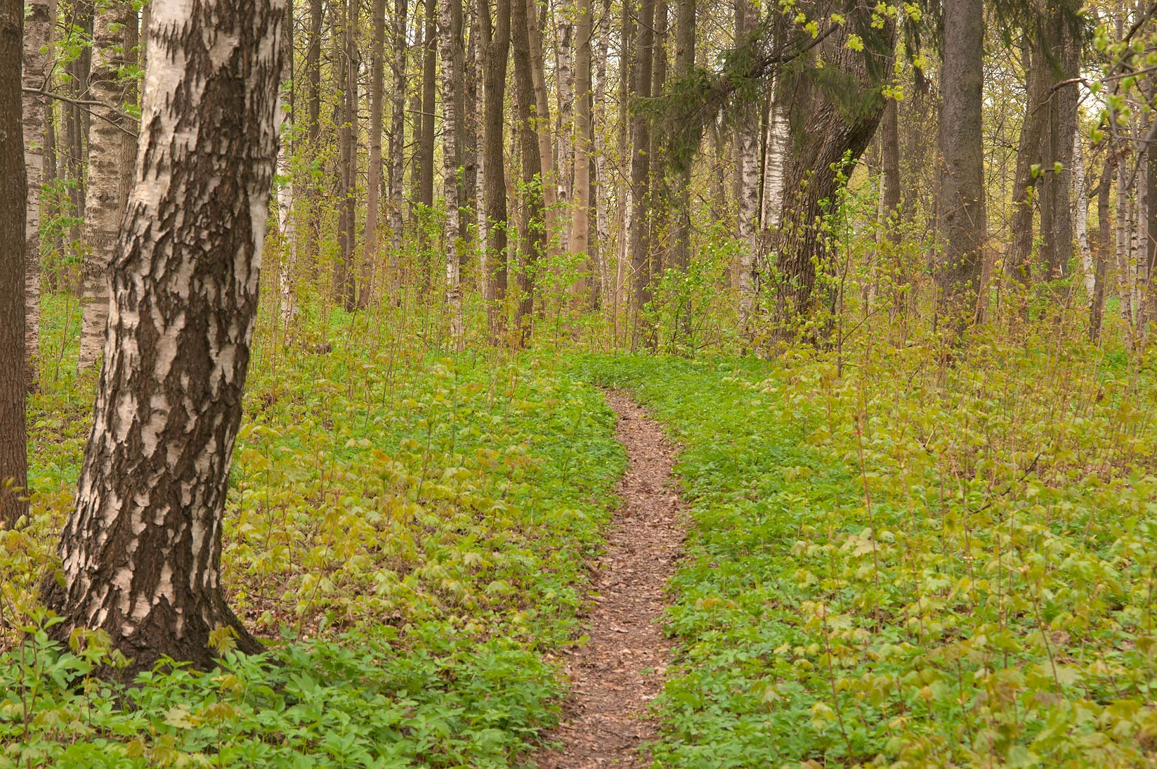 Trail in a birch forest in Gatchina Park, suburb of St.Petersburg. Russia