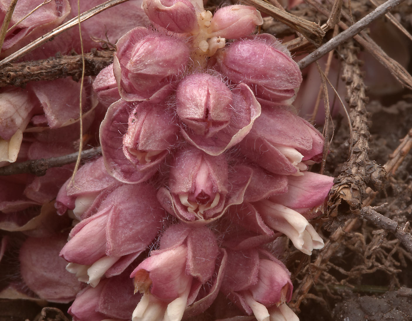 Flowers of a parasitic plant common toothwort...Park, suburb of St.Petersburg. Russia