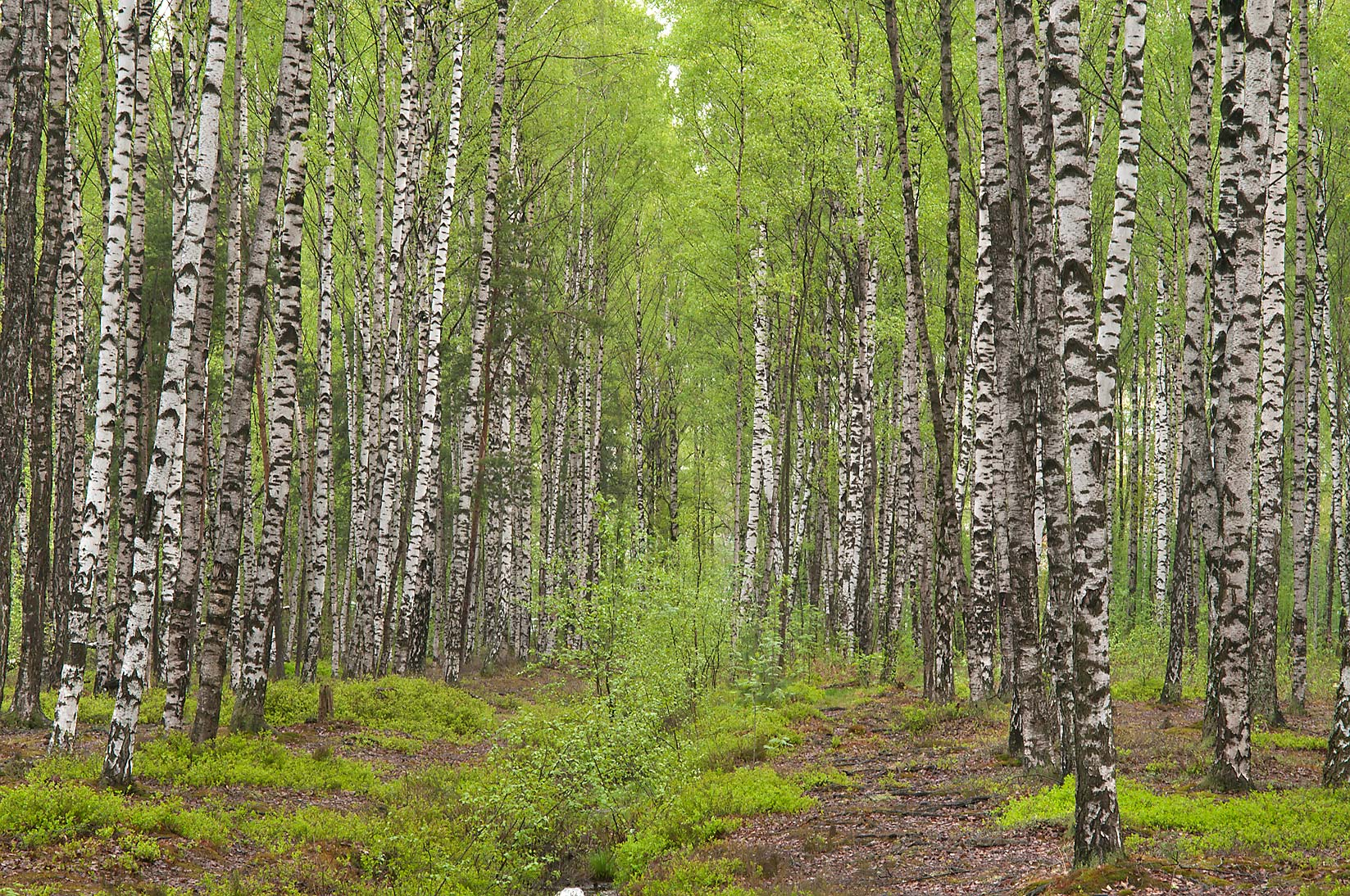 Birch forest in Sosnovka Park. St.Petersburg, Russia
