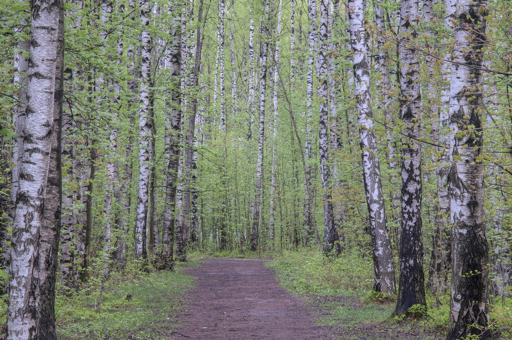 Road in a birch forest in sosnovka park saint petersburg russia may