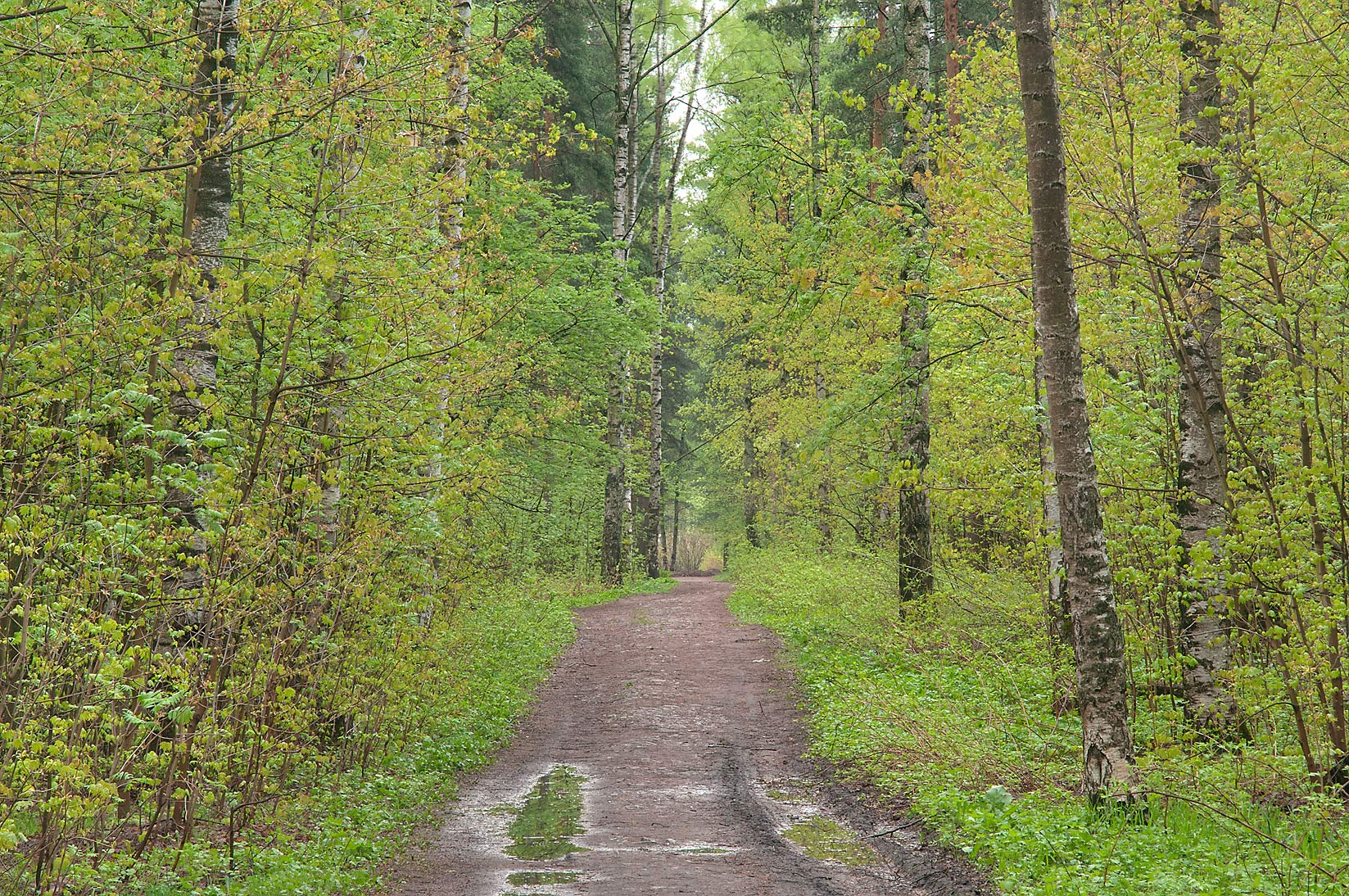 Alley in a forest in Sosnovka Park. St.Petersburg, Russia