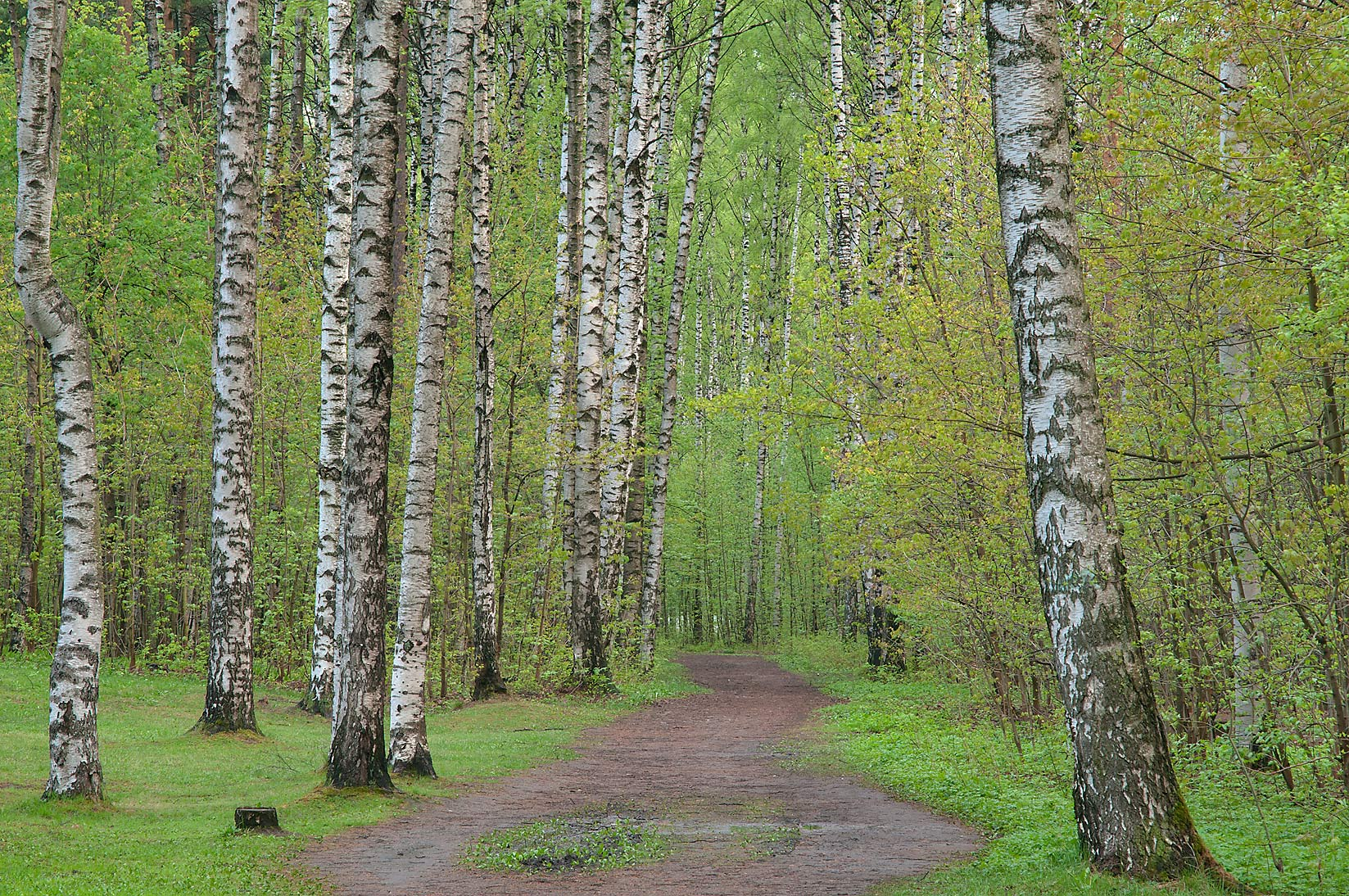 Birches in Sosnovka Park. St.Petersburg, Russia