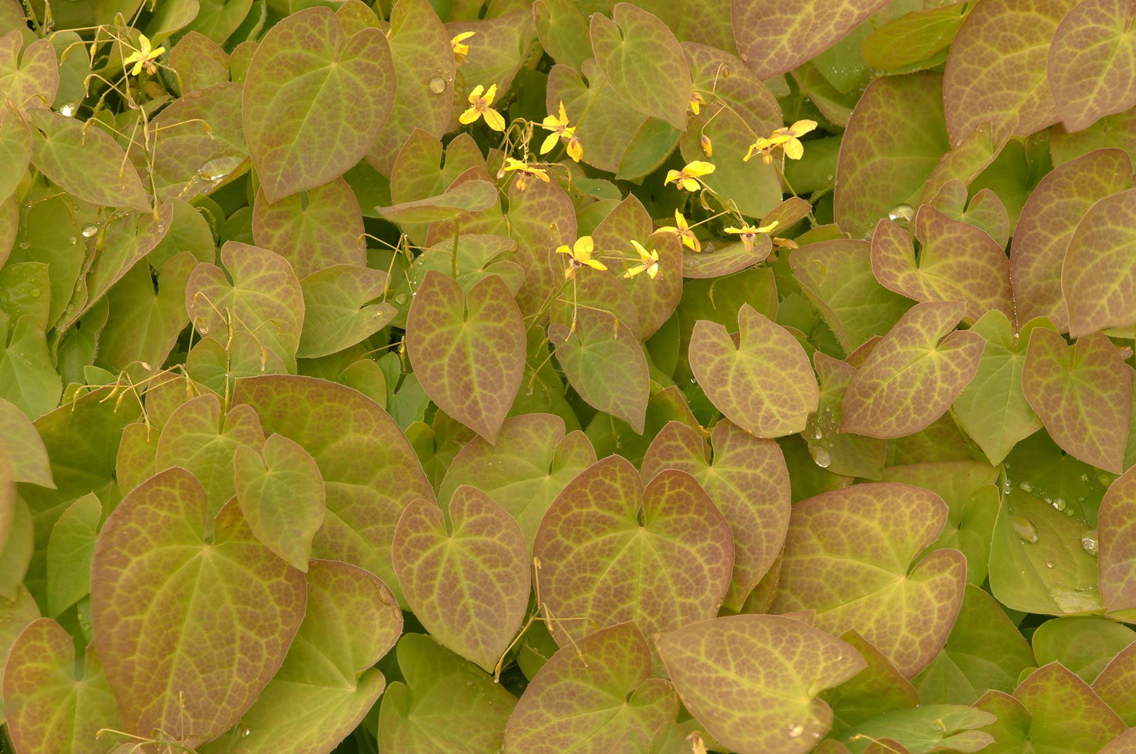 Leaves of barrenwort (Epimedium pinnatum subsp...Institute. St.Petersburg, Russia