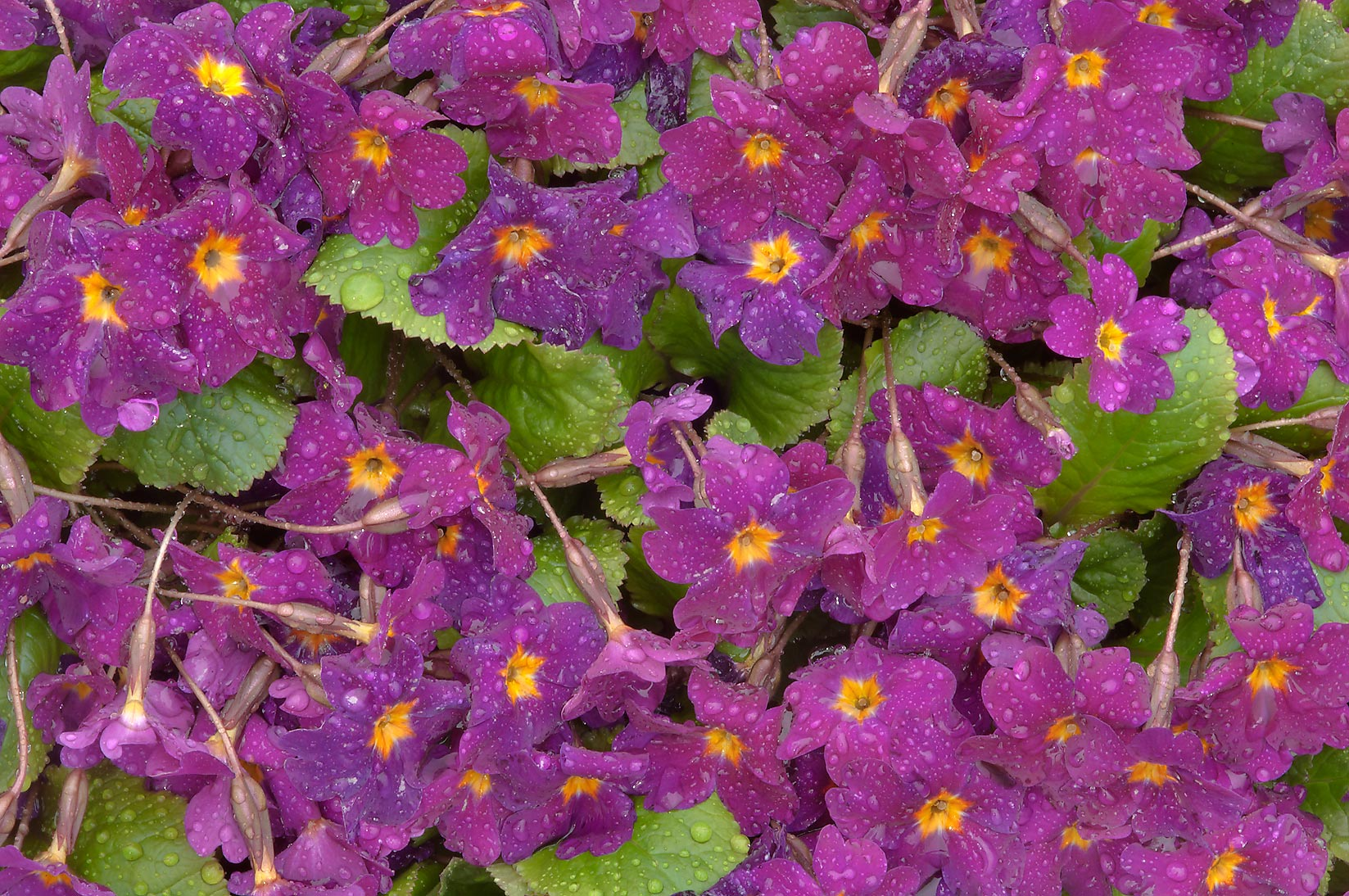 Primrose in Botanic Gardens of Komarov Botanical Institute. St.Petersburg, Russia