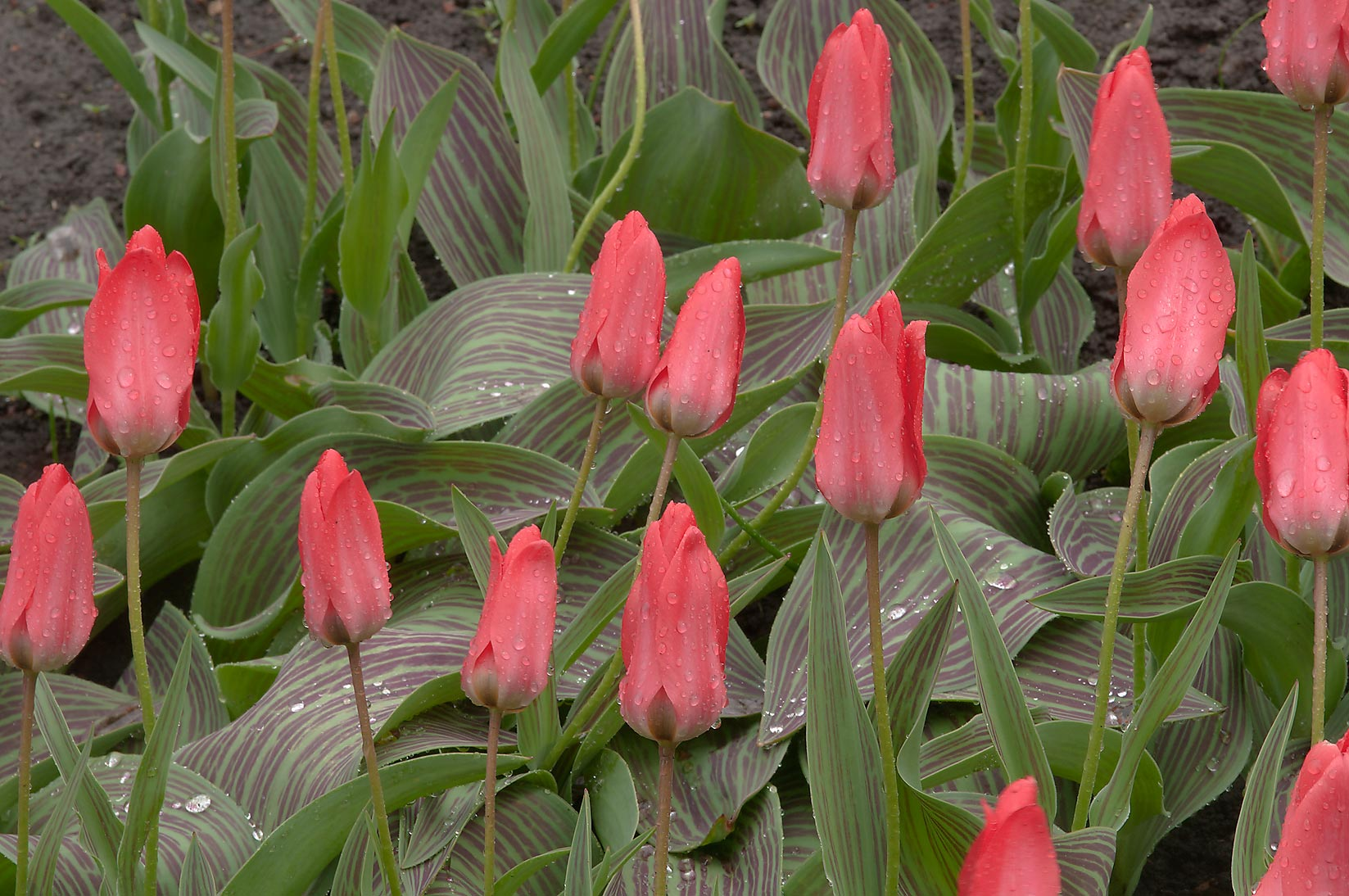 Tulips in Botanic Gardens of Komarov Botanical Institute. St.Petersburg, Russia