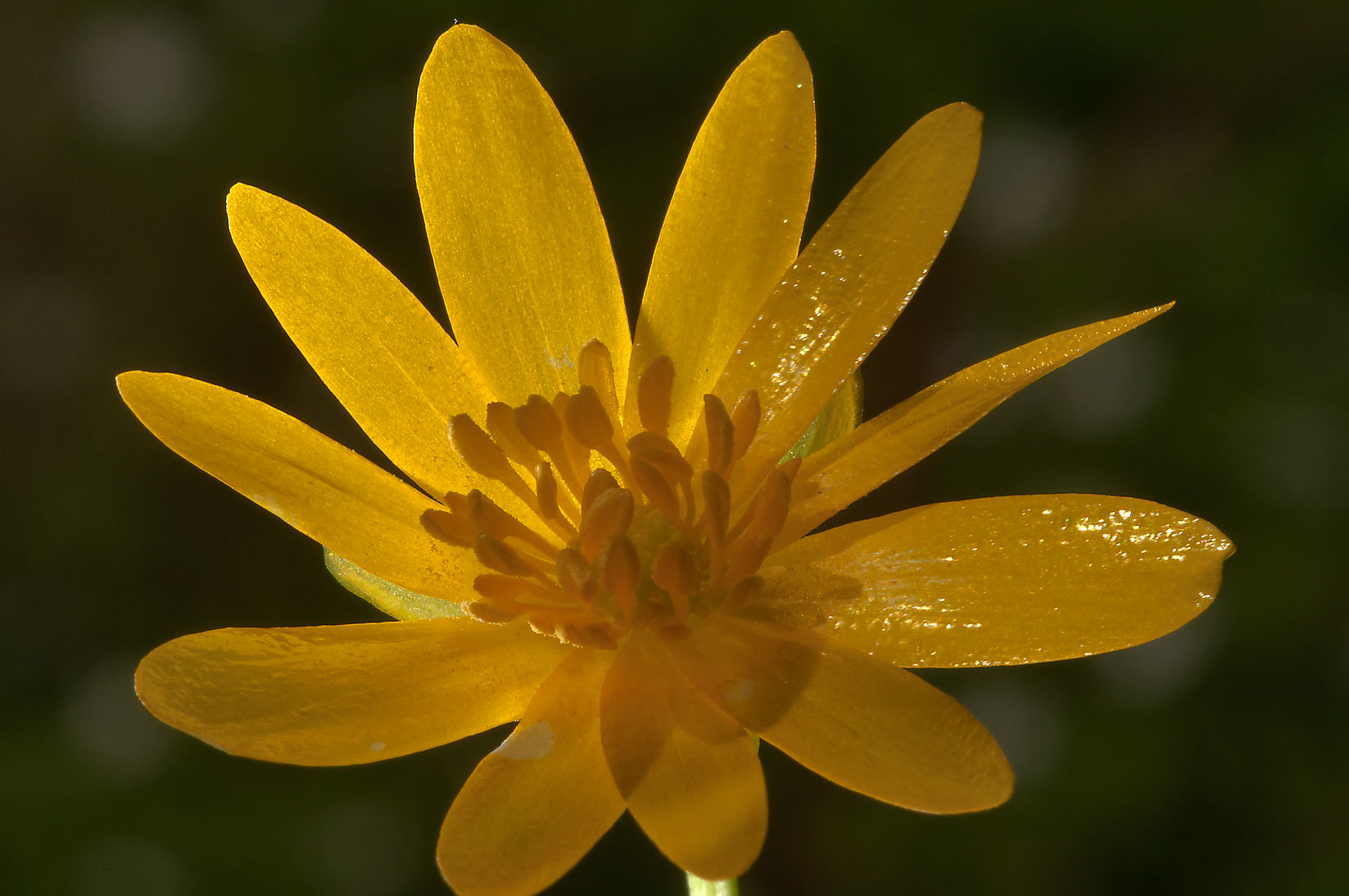 Lesser celandine (Ficaria verna, Russian name...a suburb of St.Petersburg, Russia