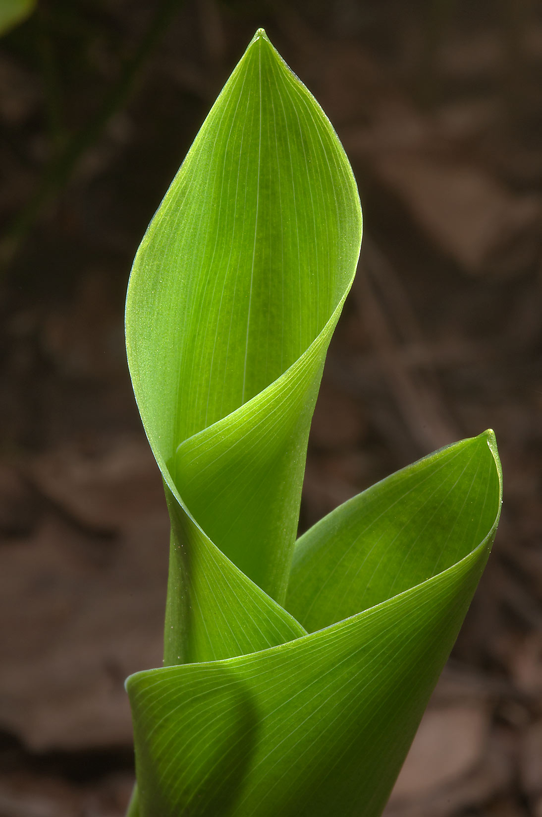 Young leaves of Lily-of-the-valley (Convallaria...a suburb of St.Petersburg, Russia