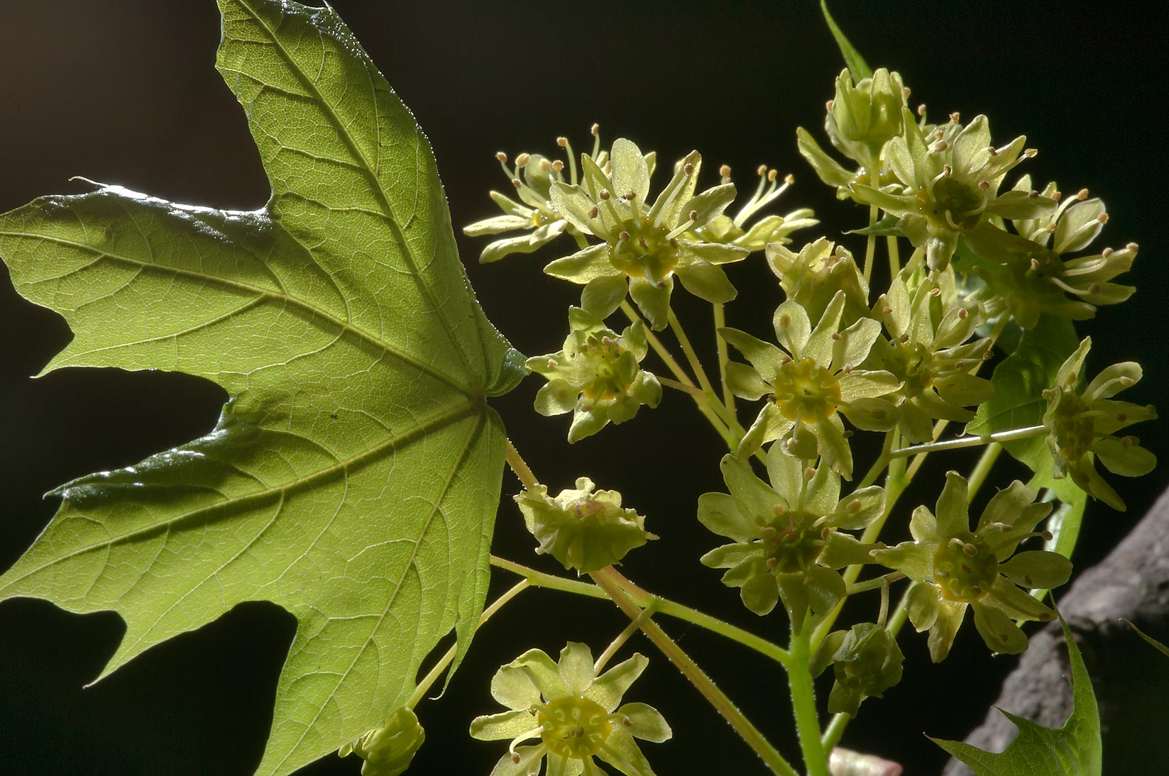 Young leaf and a cluster of maple flowers (Acer...Institute. St.Petersburg, Russia