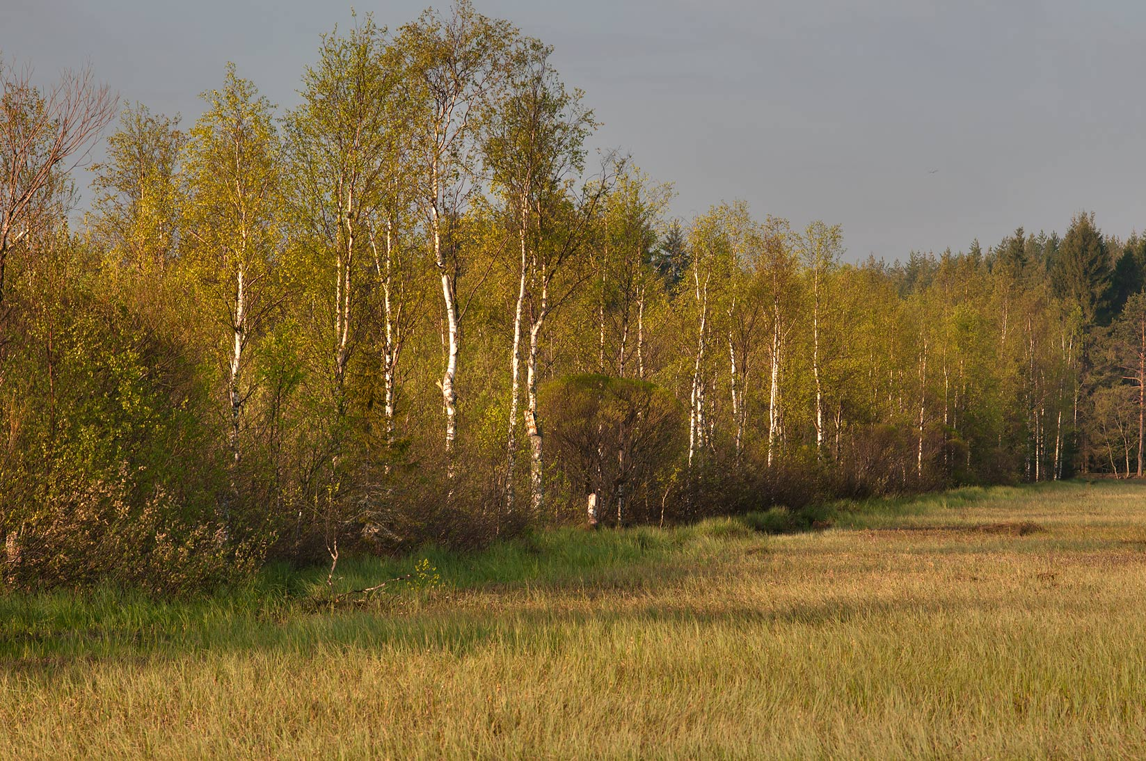 Marsh in Toksovo, near St.Petersburg. Russia