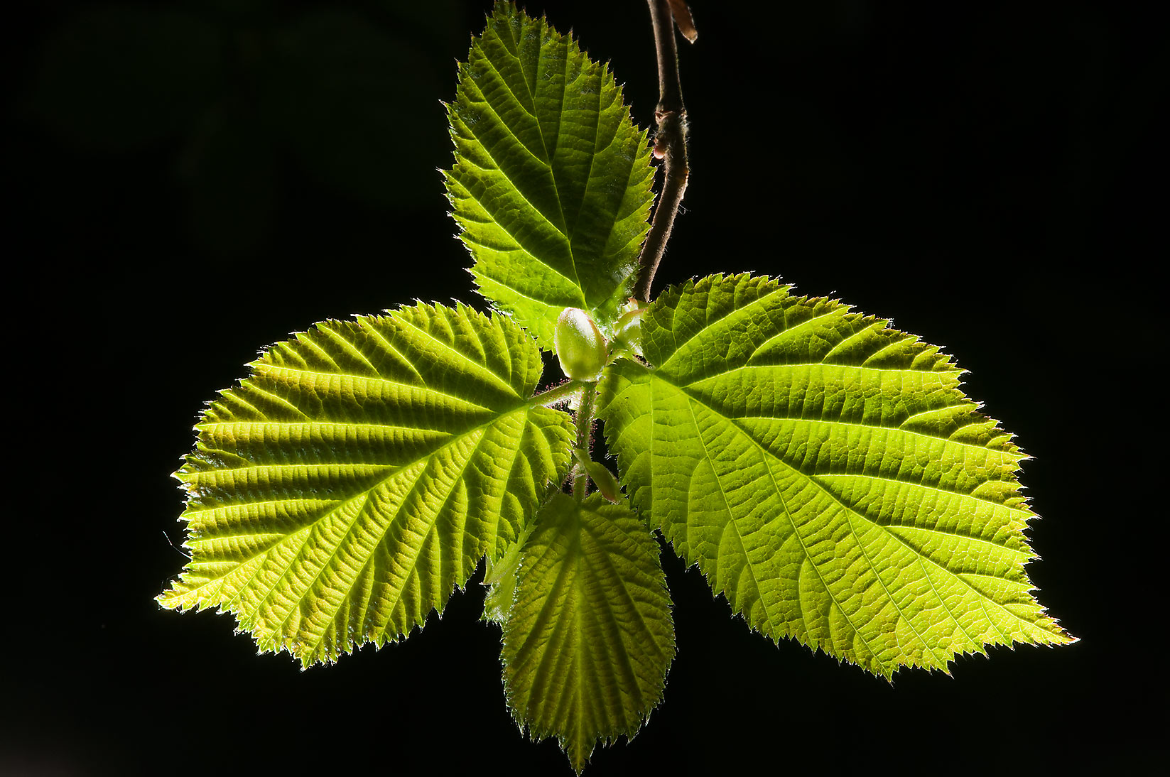 Back lit leaves of hazelnut in Sablino, south from St.Petersburg. Russia