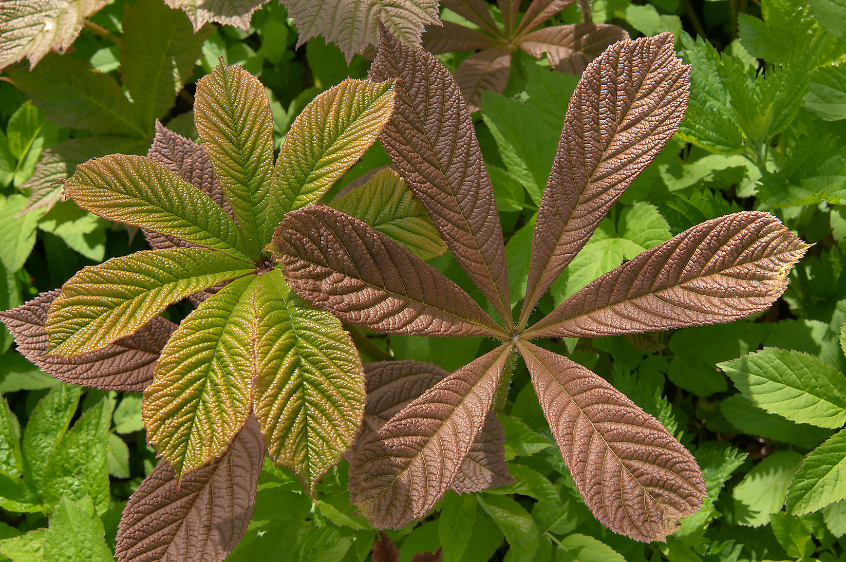 Palmate wrinkled leaves of Rodgersia aesculifolia...Institute. St.Petersburg, Russia