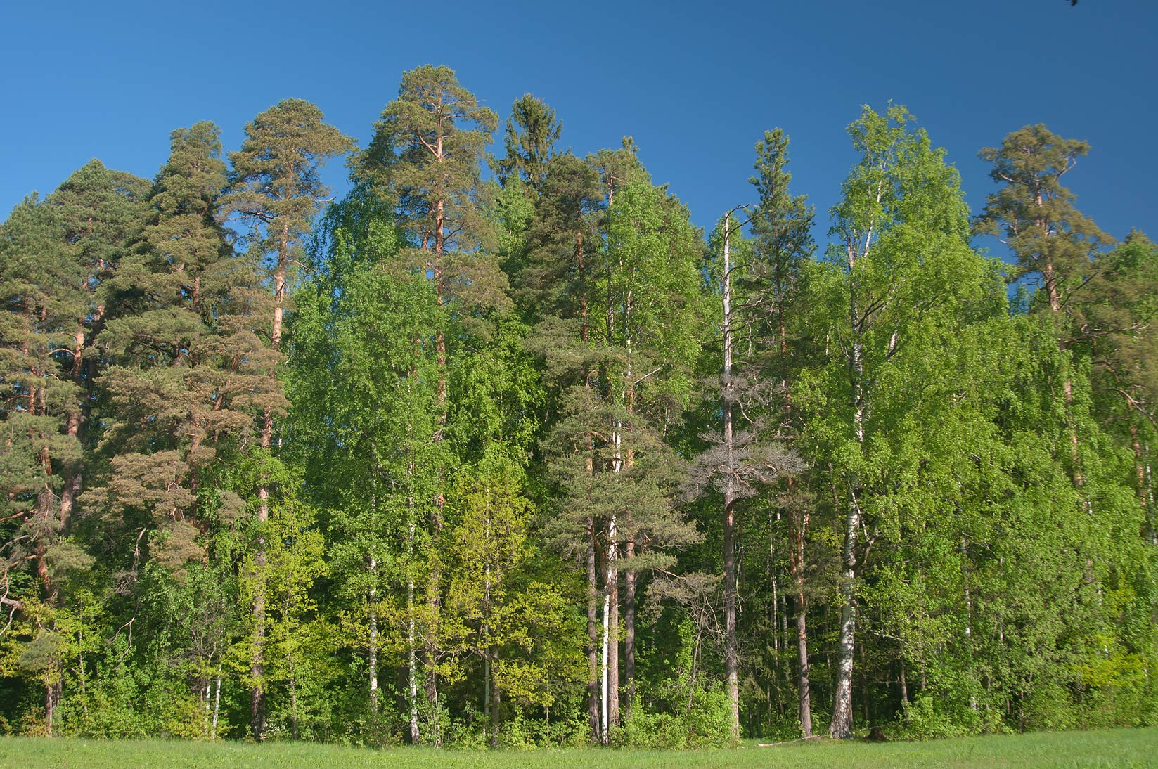 Forest in Pavlovsk Park, south from St.Petersburg. Russia