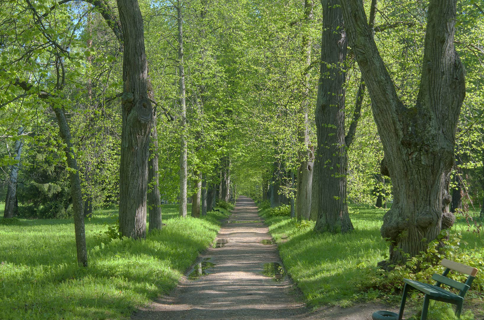 Linden alley in Pavlovsk Park, south from St.Petersburg. Russia