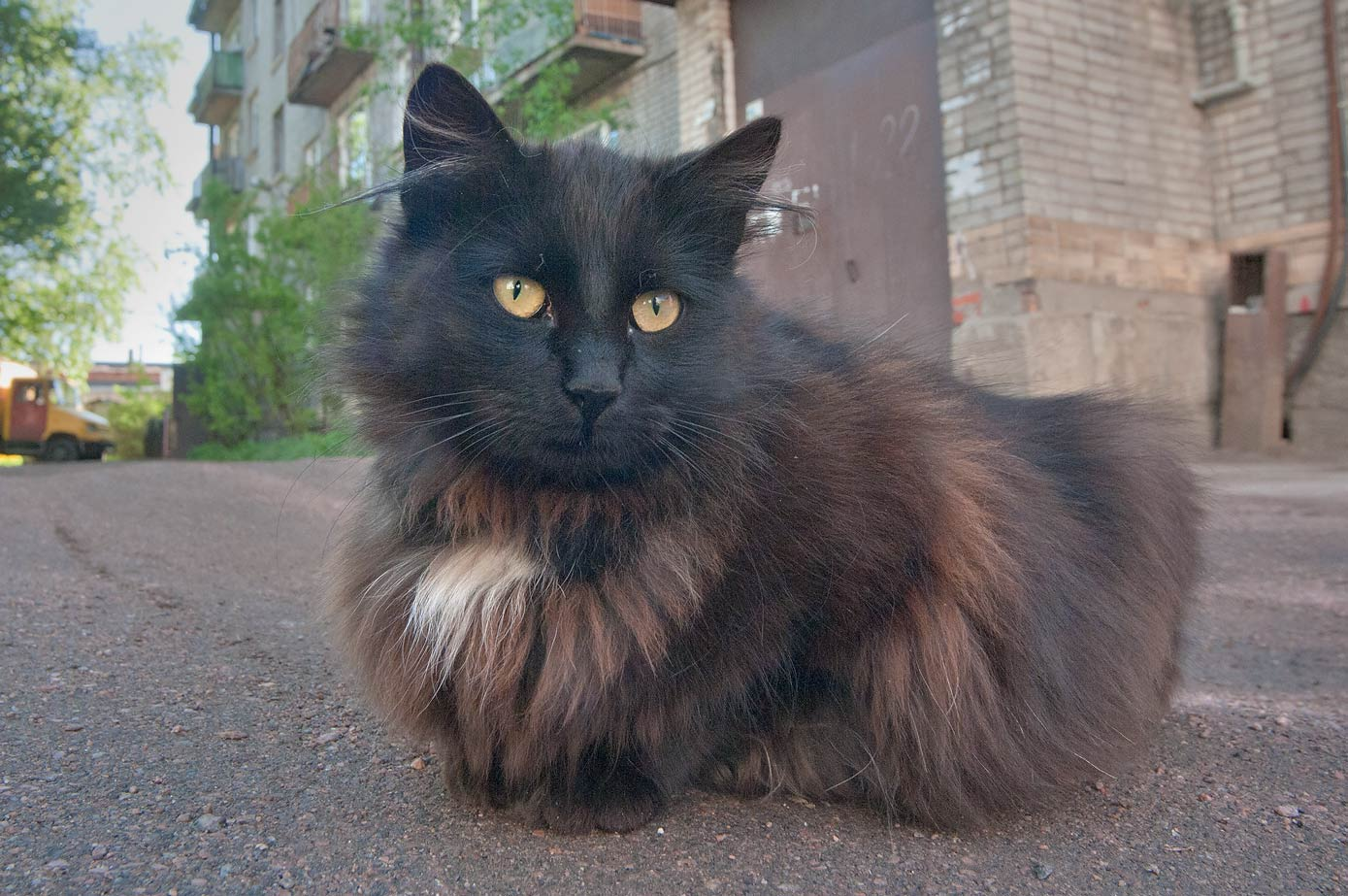 Tortoiseshell (black with chocolate) cat in Old City. Vyborg, Russia