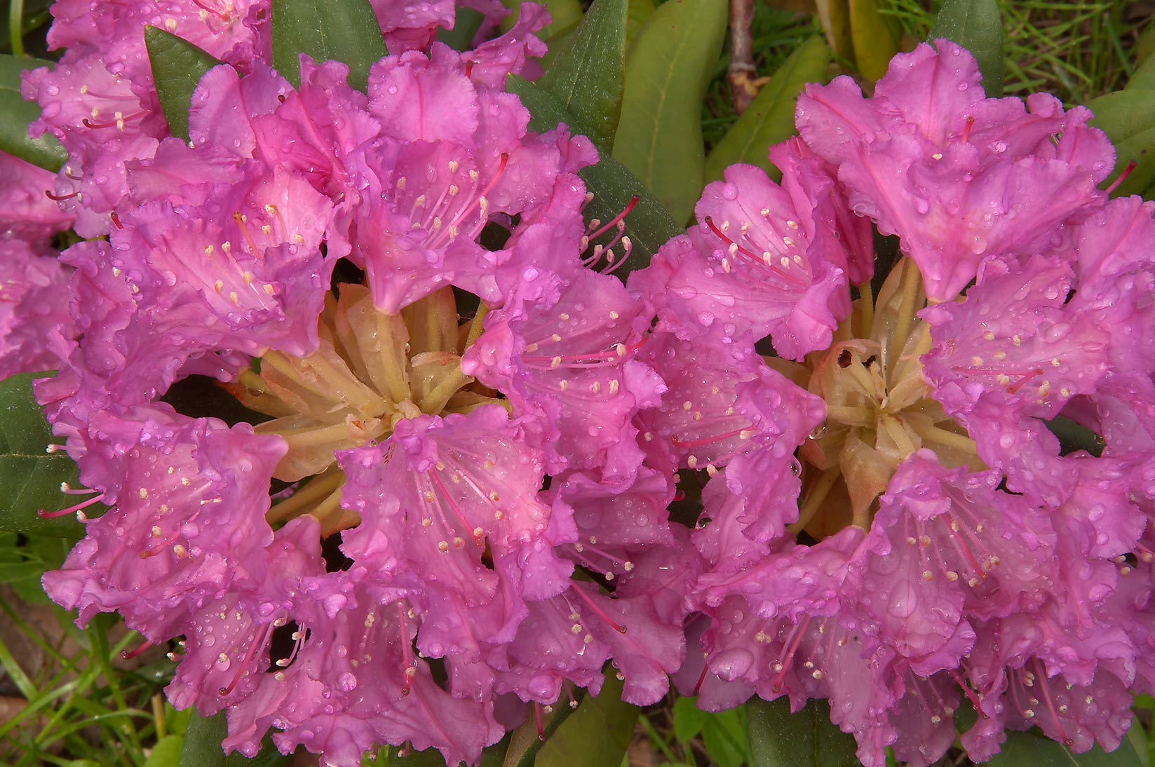 Blooming rhododendron in Botanic Gardens of...Institute. St.Petersburg, Russia