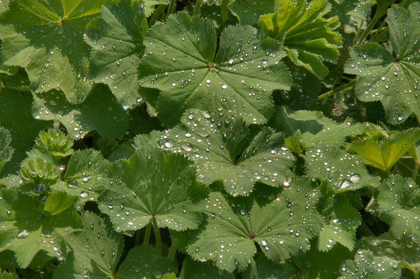 Leaves of Lady's Mantle (Alchemilla vulgaris...Institute. St.Petersburg, Russia