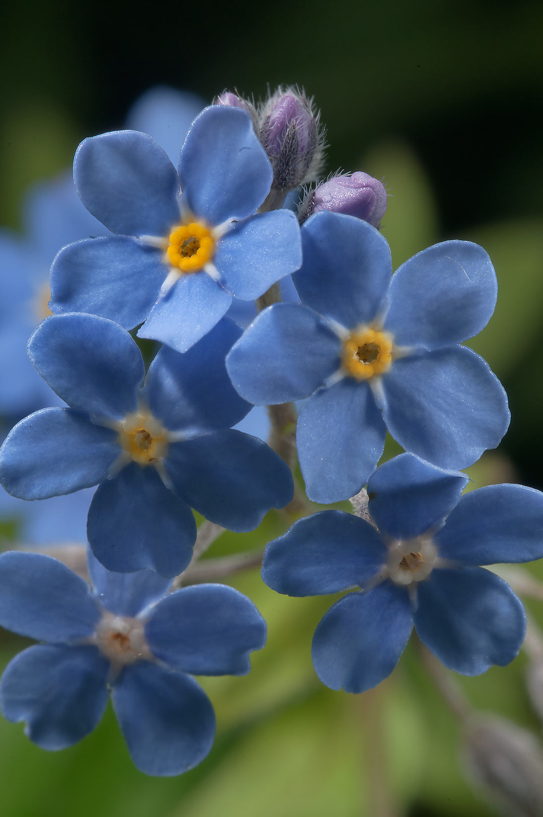Forget-me-not in Botanic Gardens of Komarov Botanical Institute. St.Petersburg, Russia