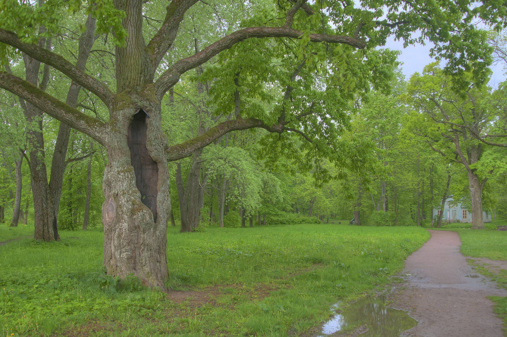 Oak of Aleksandrovsky Park. Pushkin (former...south from St.Petersburg, Russia
