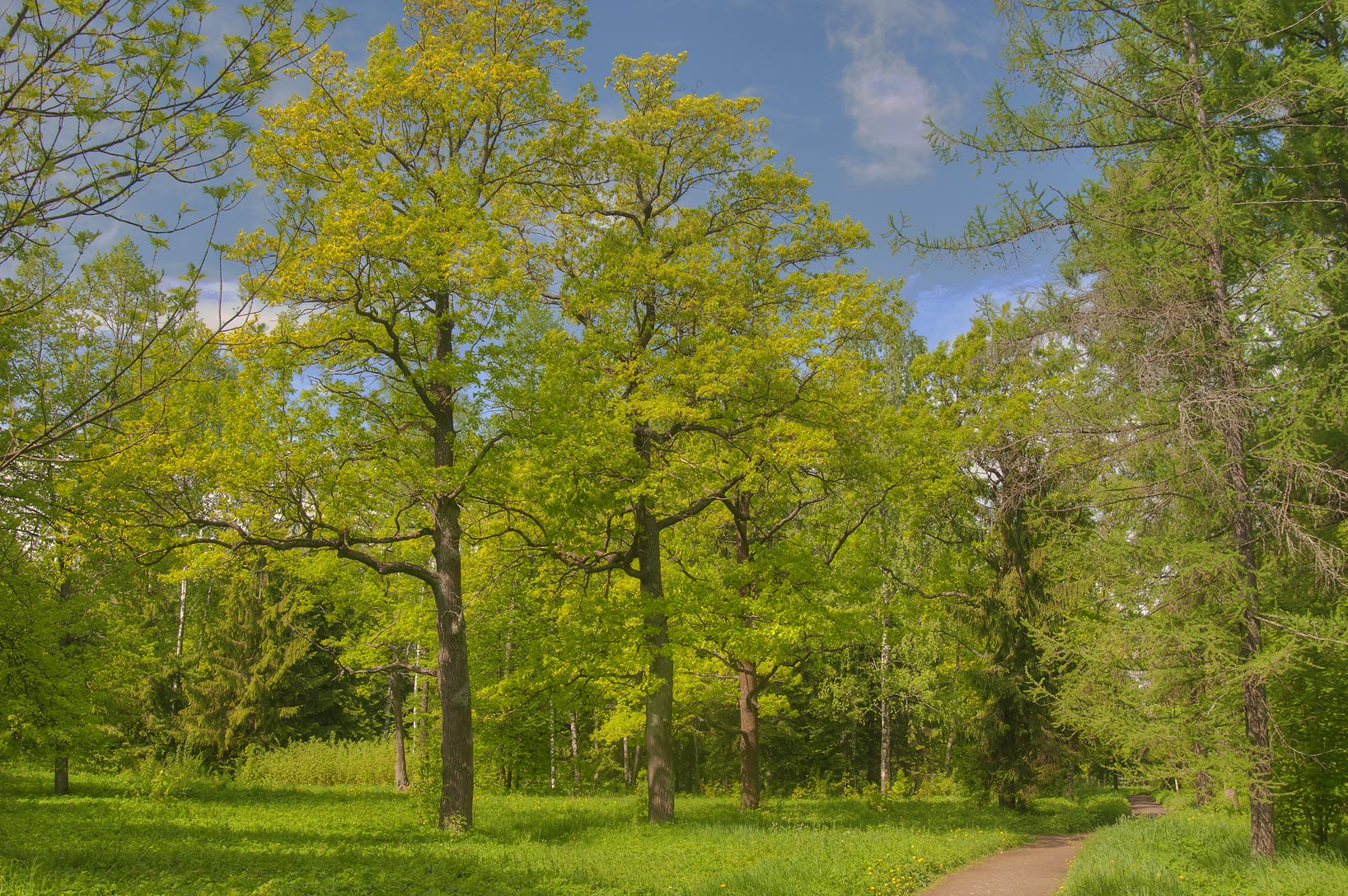 Oaks in Aleksandrovsky Park. Pushkin (former...south from St.Petersburg, Russia