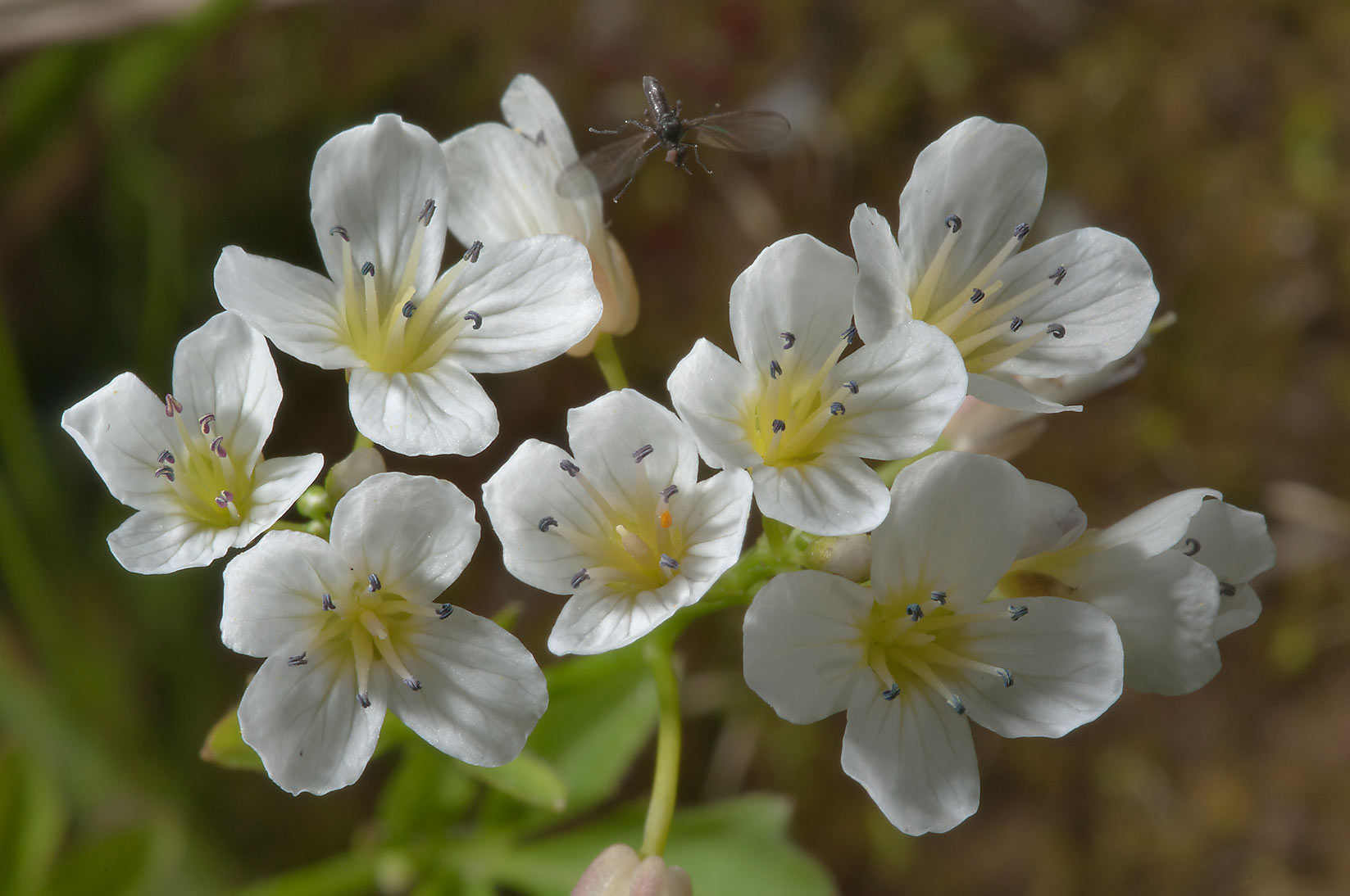 Small white flowers of Bittercress (Cardamine) in...south from St.Petersburg. Russia