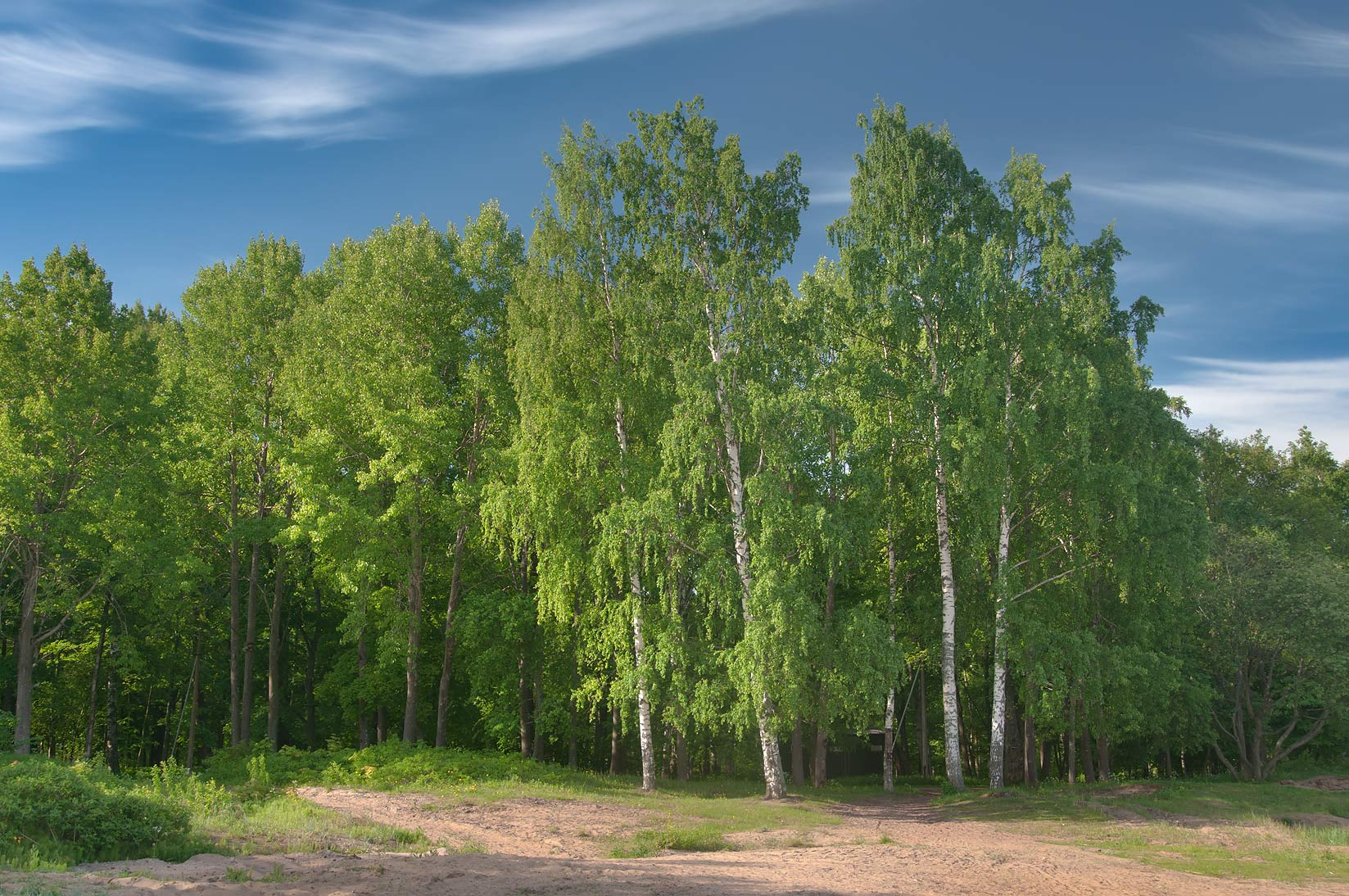 Birches on shore of Gulf of Finland in Alexandria...west from St.Petersburg. Russia