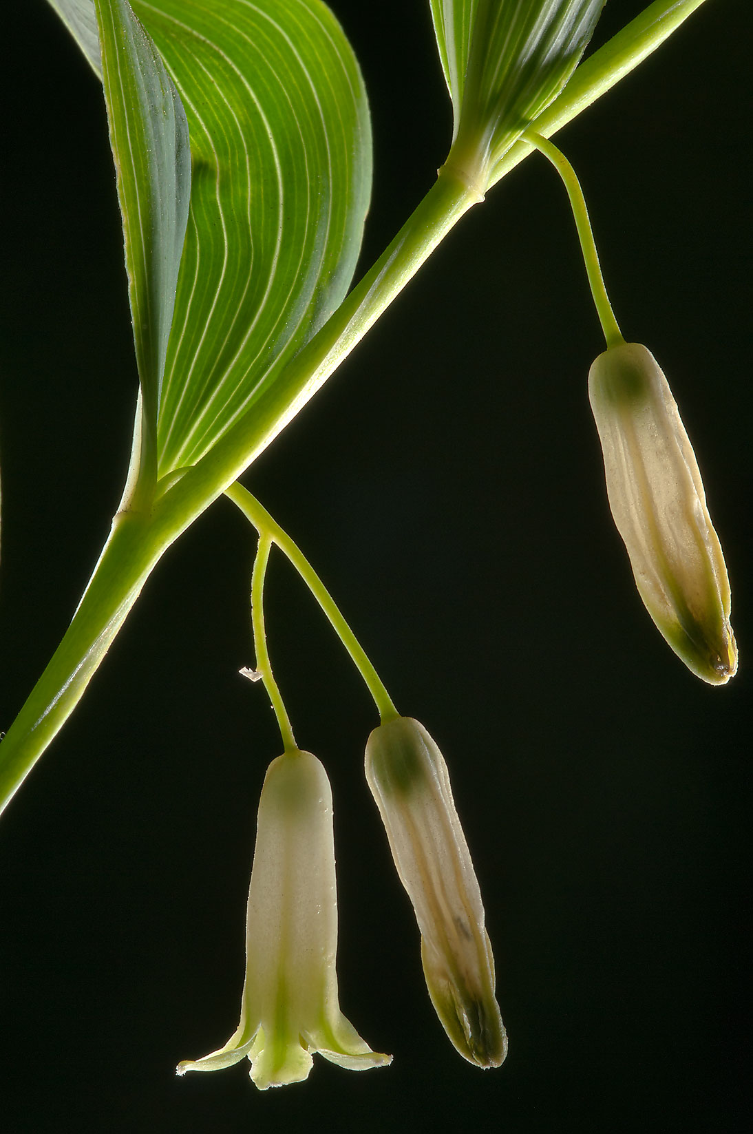 Solomon's seal (Polygonatum odoratum, Russian...miles north from St.Petersburg. Russia