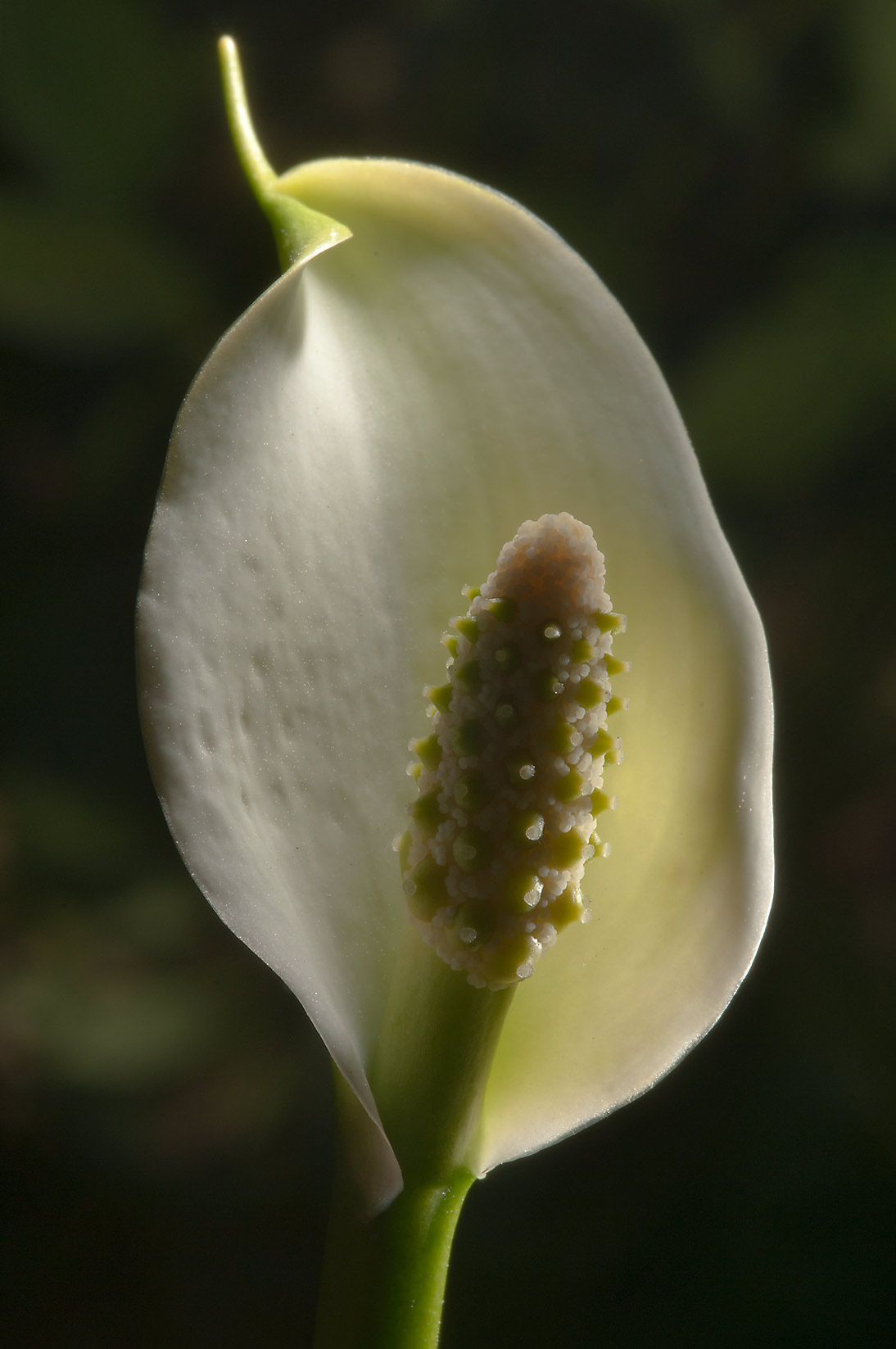 Flower of Wild Calla (Water Arum, Calla palustris...miles north from St.Petersburg. Russia