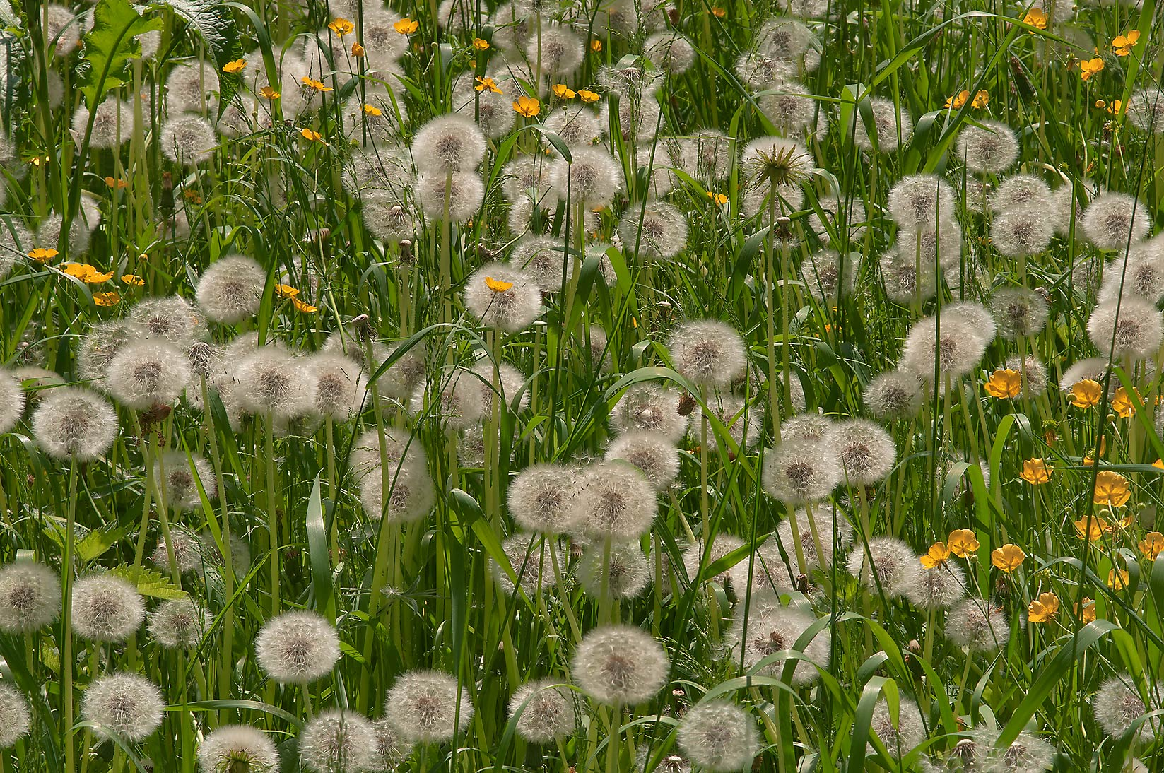 Photo 960 24 Dandelions And Buttercups In Botanic Gardens Of Institute St Petersburg Russia