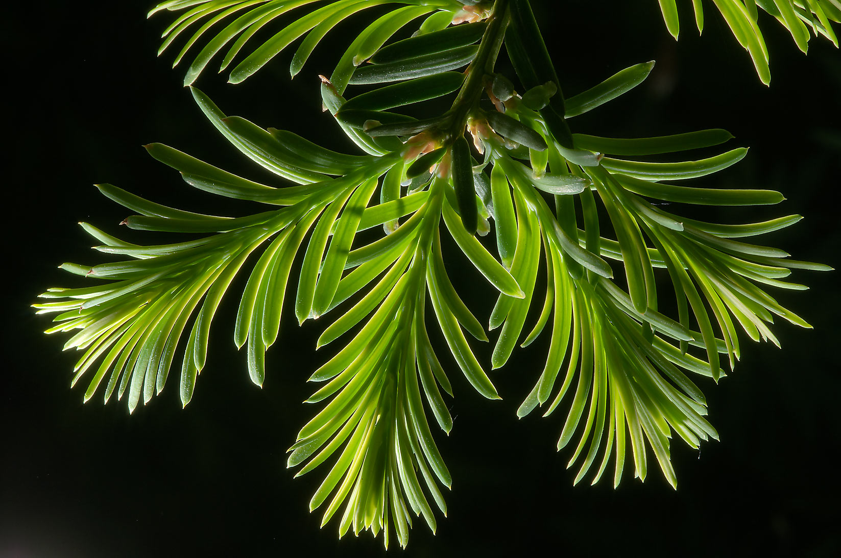 Young needles of fir tree in Botanic Gardens of...Institute. St.Petersburg, Russia
