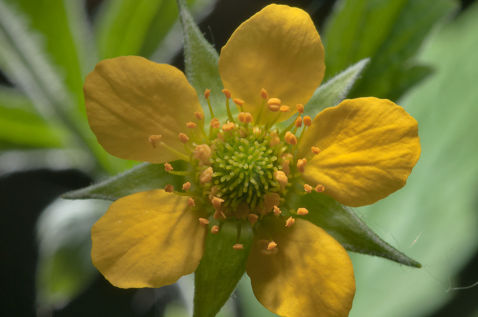 Yellow flower of wood avens (Colewort, Geum...Nos, a suburb of St.Petersburg. Russia