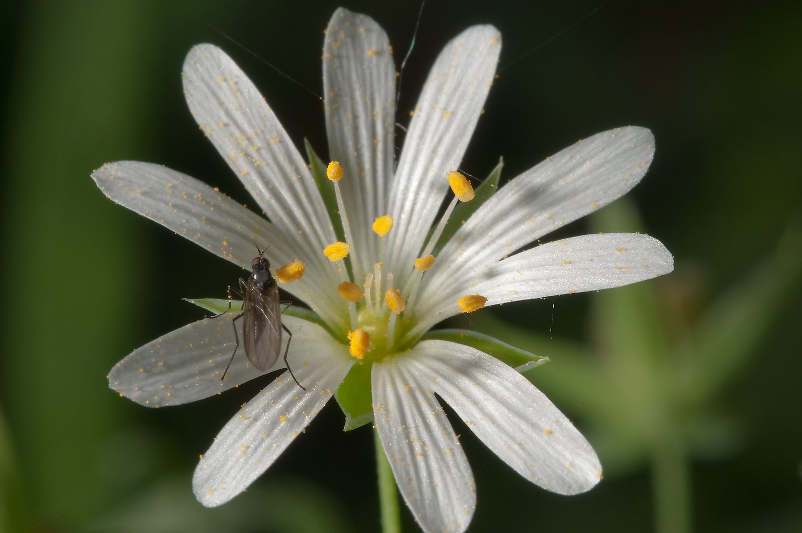 White stellaria flower with a fly in Kuzmolovo, 10 miles north from St.Petersburg. Russia
