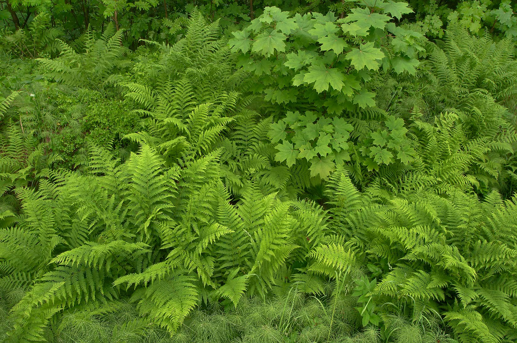 Greenery in Pavlovsk Park. Pavlovsk, a suburb of St.Petersburg, Russia