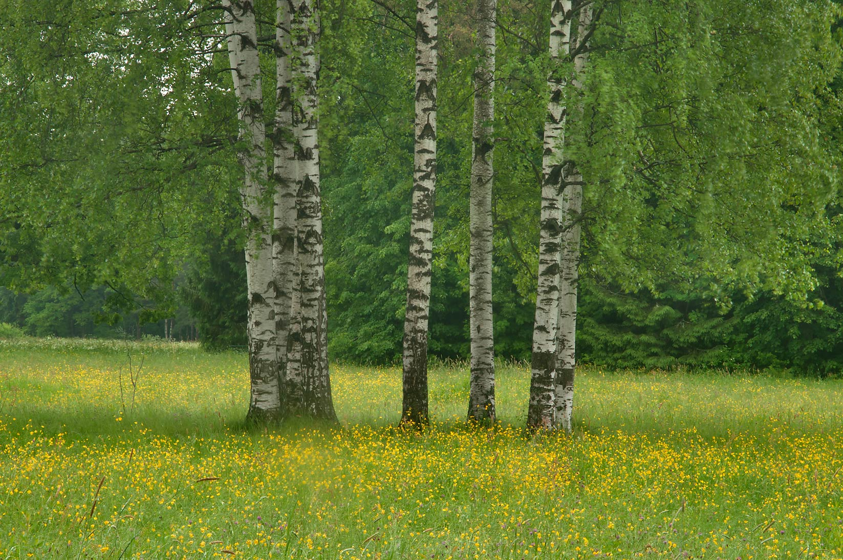 Birch trees in Pavlovsk Park. Pavlovsk, a suburb of St.Petersburg, Russia