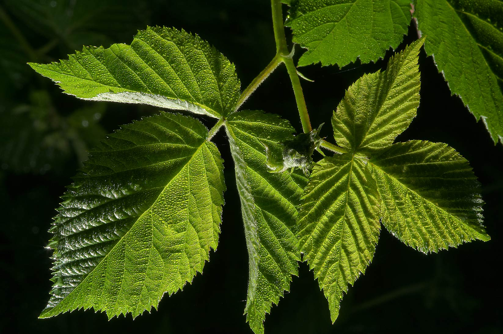 Young leaves of raspberry (Rubus) east from...miles north from St.Petersburg. Russia