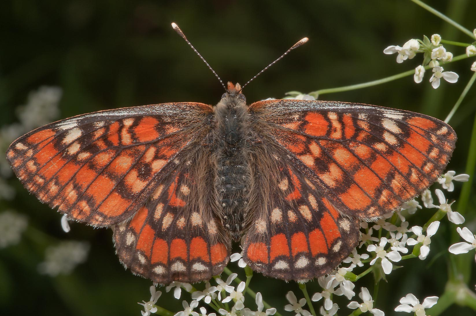 Scarce Fritillary butterfly (Euphydryas maturna...miles north from St.Petersburg. Russia