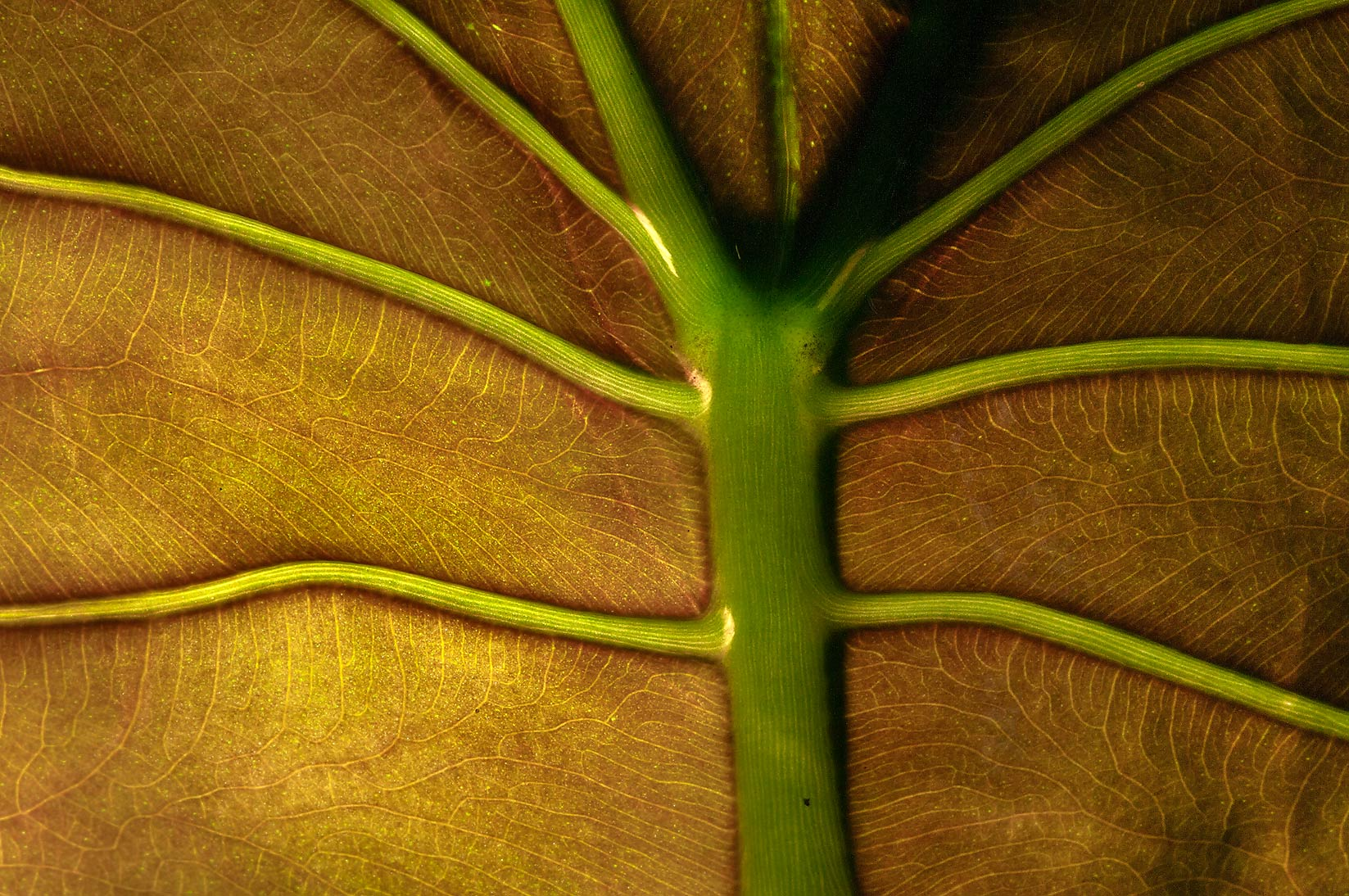 Venation of a leaf of an aquatic plant in a...Institute. St.Petersburg, Russia