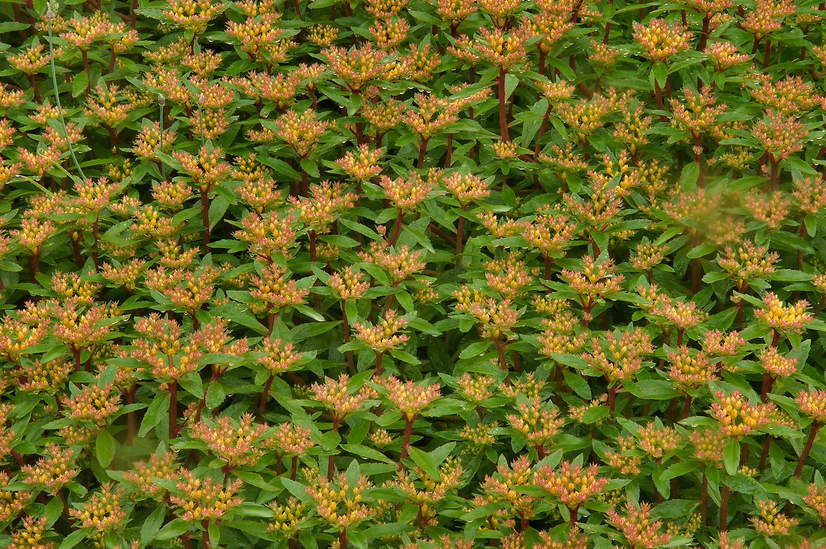 Sedum in Botanic Gardens of Komarov Botanical Institute. St.Petersburg, Russia