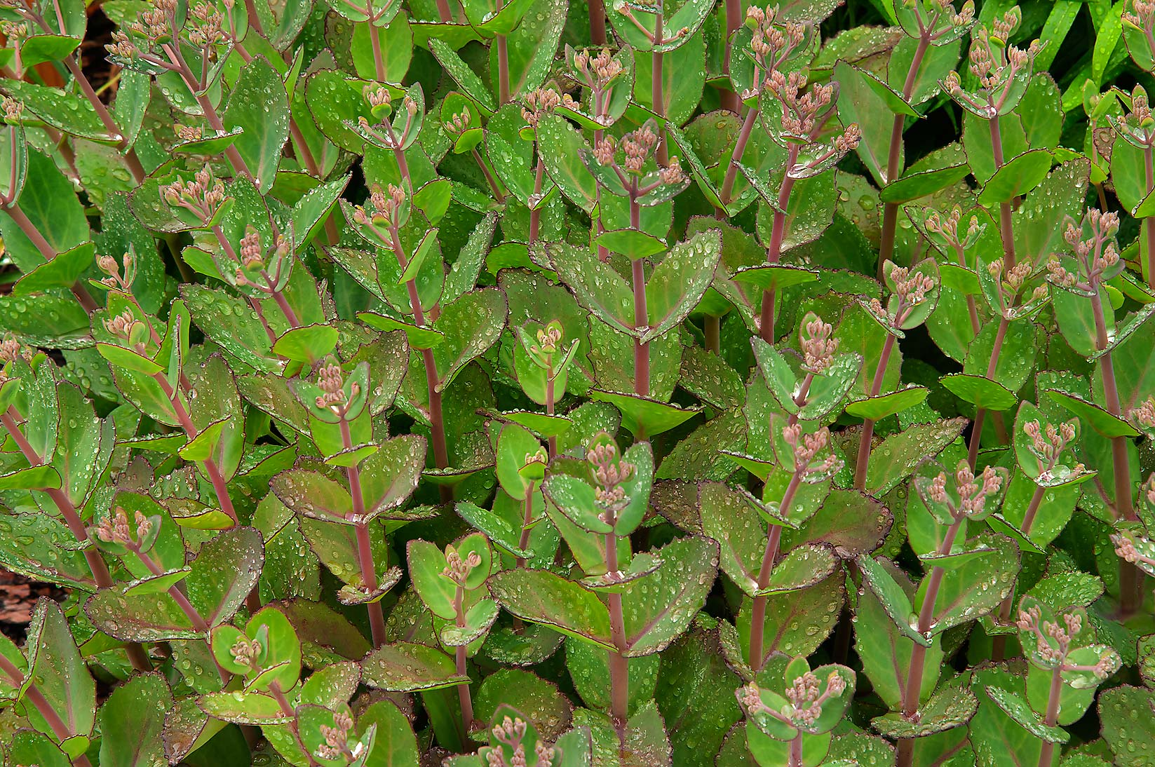 Sedum leaves (Hylotelephium 'Matrona') in Botanic...Institute. St.Petersburg, Russia
