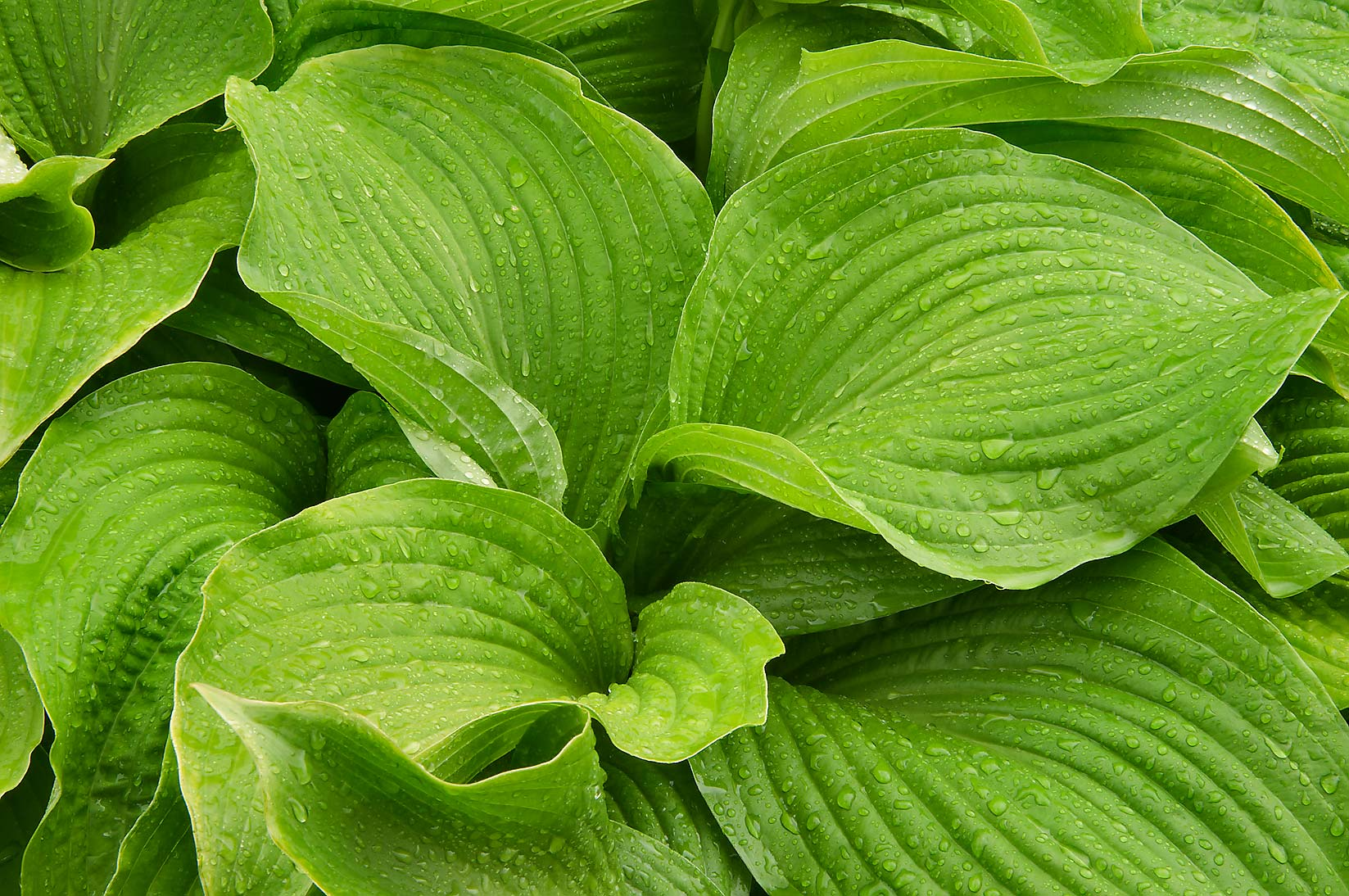 Green leaves of plantain lily (hosta) in Botanic...Institute. St.Petersburg, Russia