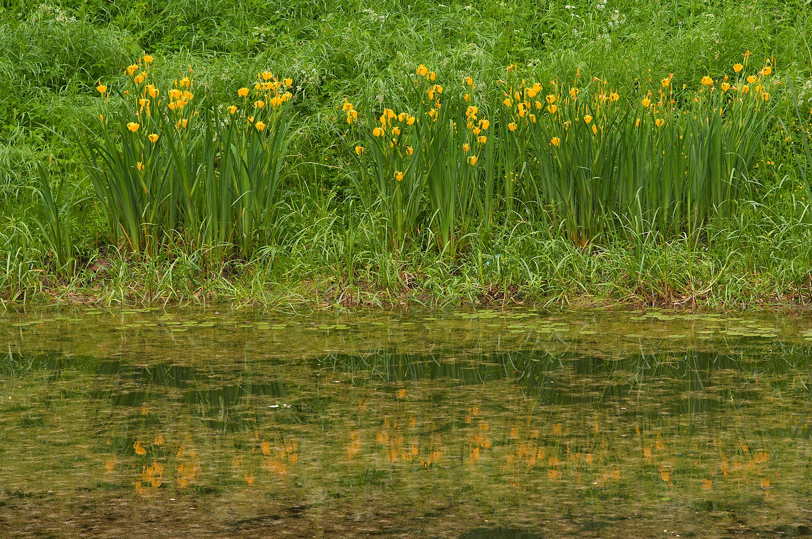 Yellow iris in a pond in Botanic Gardens of...Institute. St.Petersburg, Russia