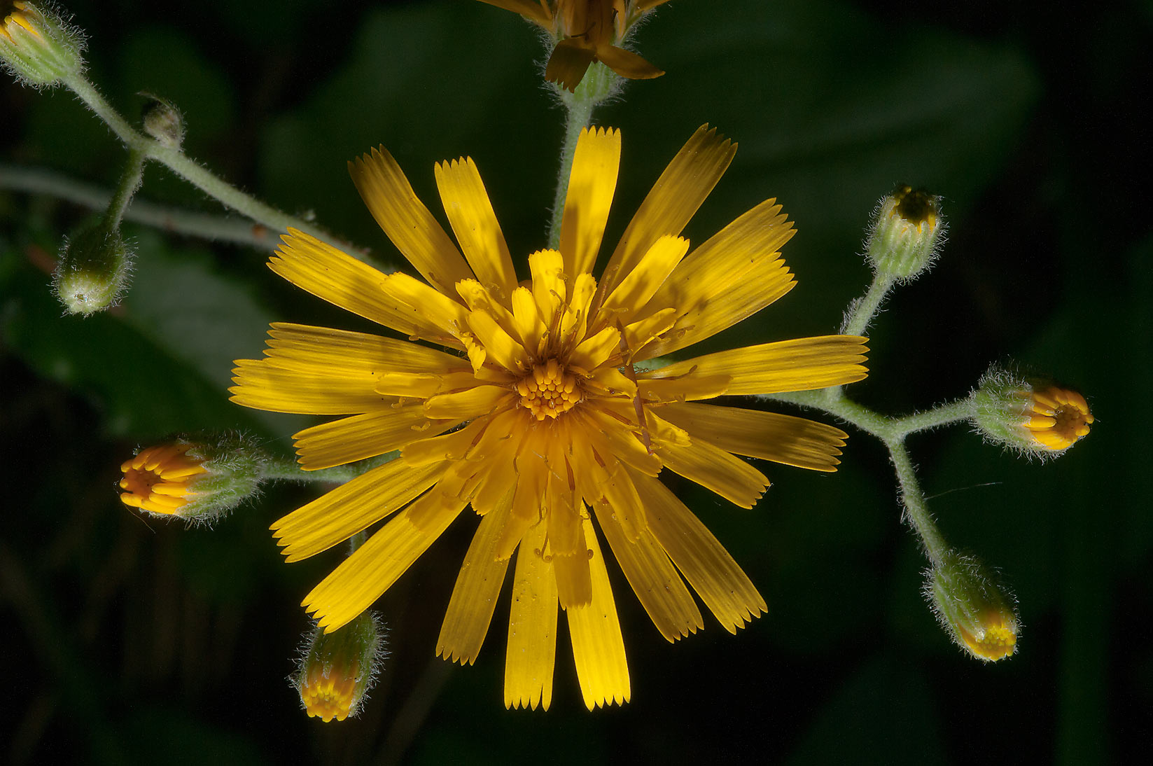 Wall hawkweed (Hieracium murorum, Russian name...Petersburg in Leningrad Region. Russia