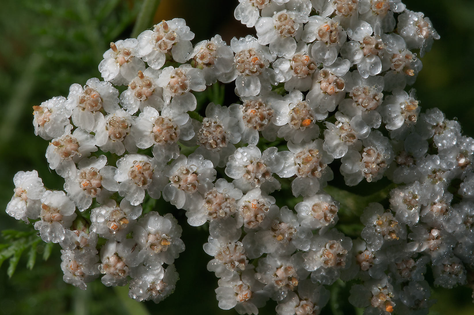Yarrow (Achillea millefolium) east from Kuzmolovo...miles north from St.Petersburg. Russia