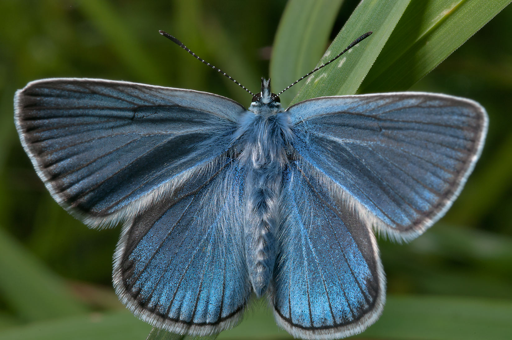 Amanda's Blue butterfly (Polyommatus amandus...miles north from St.Petersburg. Russia