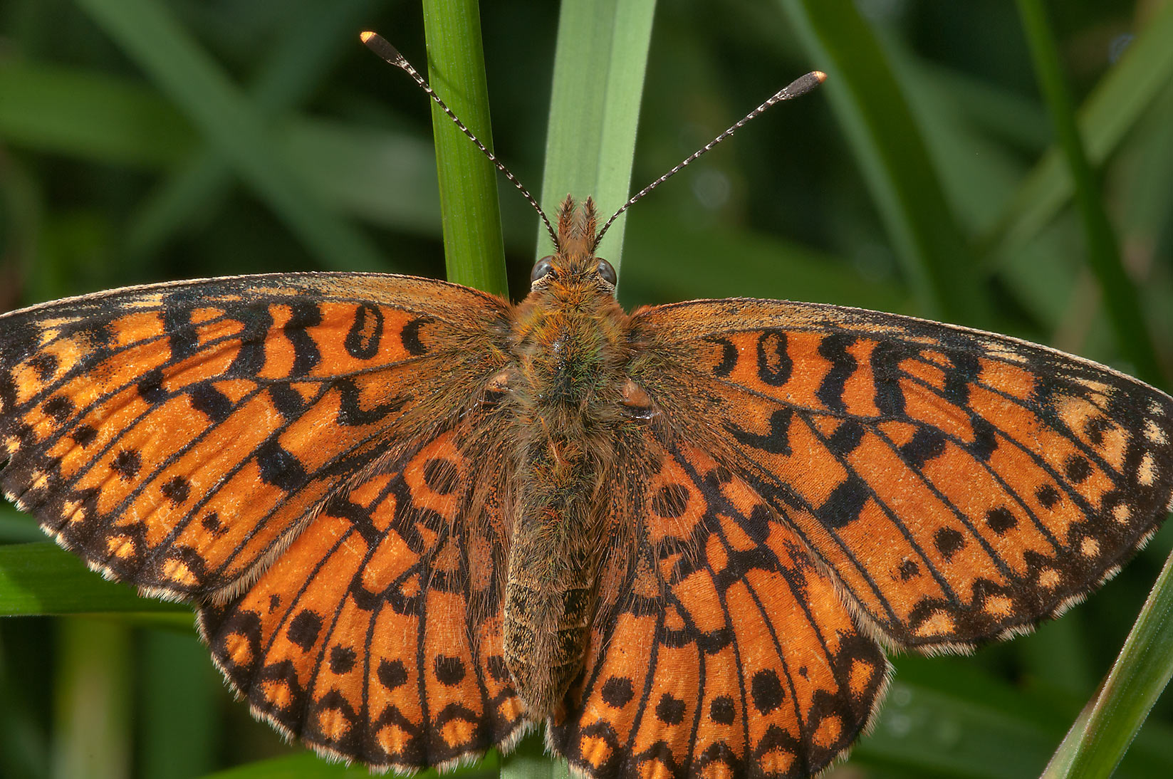 Arctic Fritillary butterfly (Boloria chariclea...miles north from St.Petersburg. Russia
