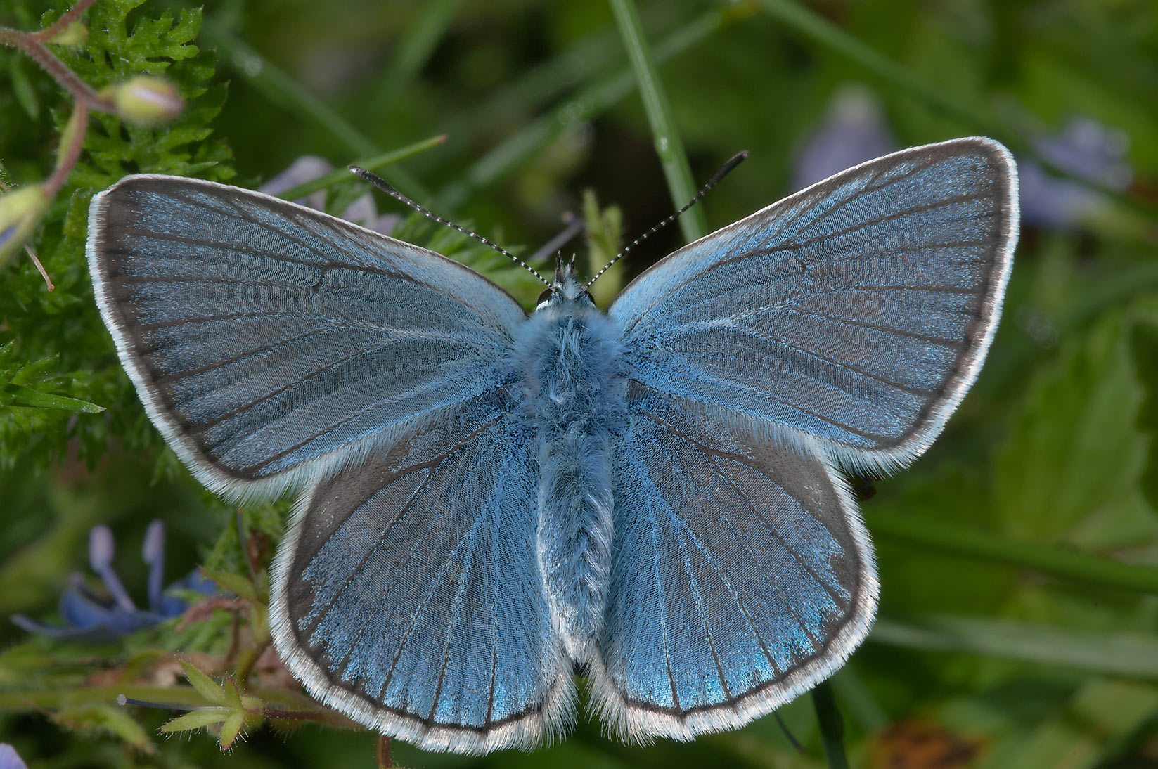 Amanda's Blue (Polyommatus amandus) butterfly on...miles north from St.Petersburg. Russia