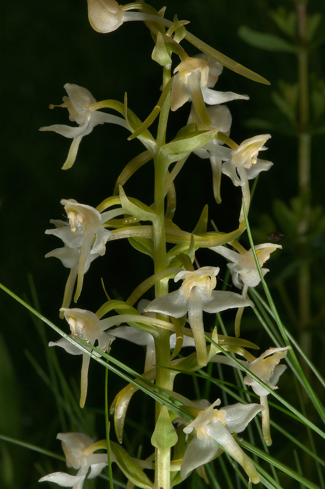 Lesser Butterfly-orchid (Platanthera bifolia...miles north from St.Petersburg. Russia